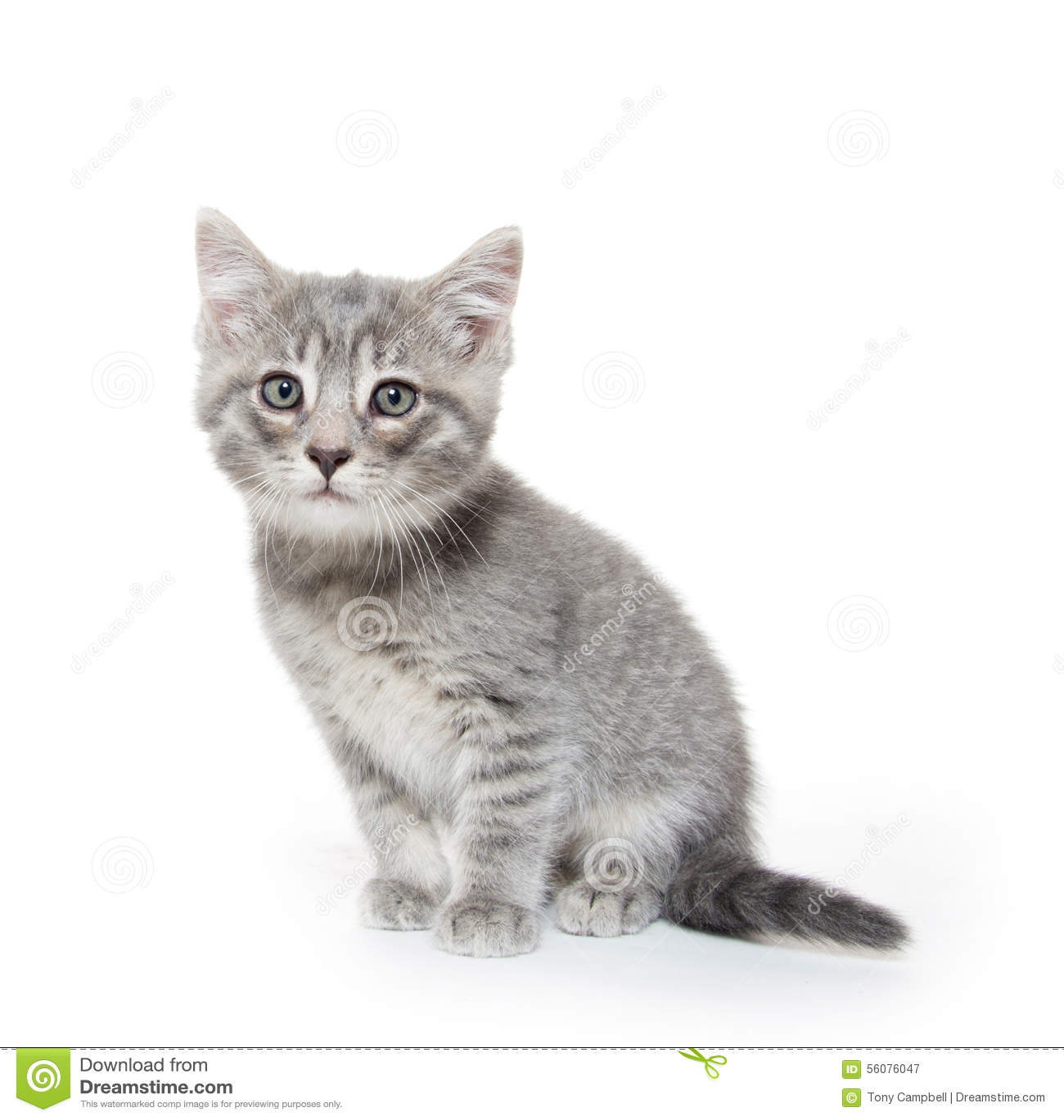 Gatito gris lindo del gato atigrado en blanco