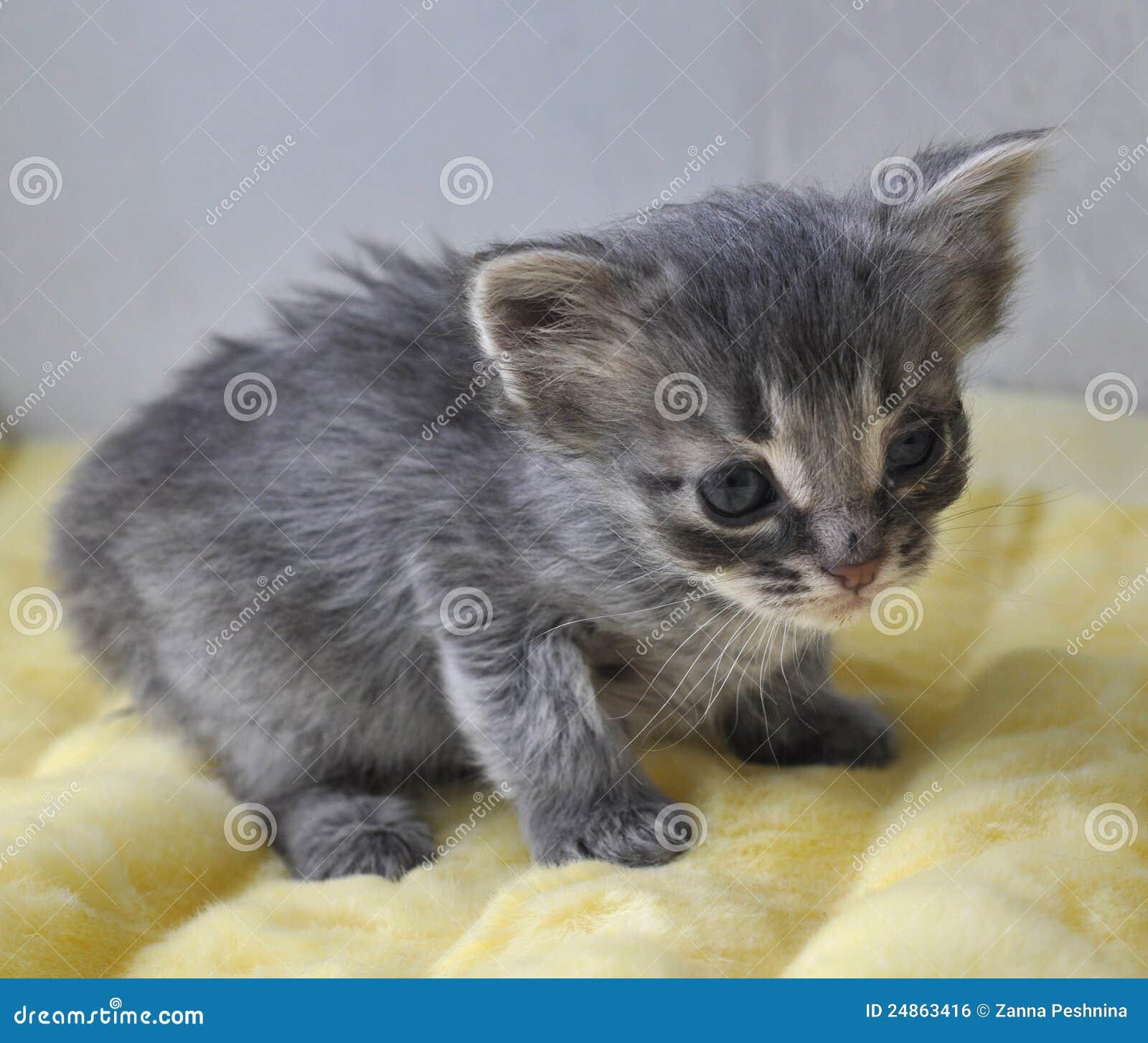 Gatito gris recién nacido