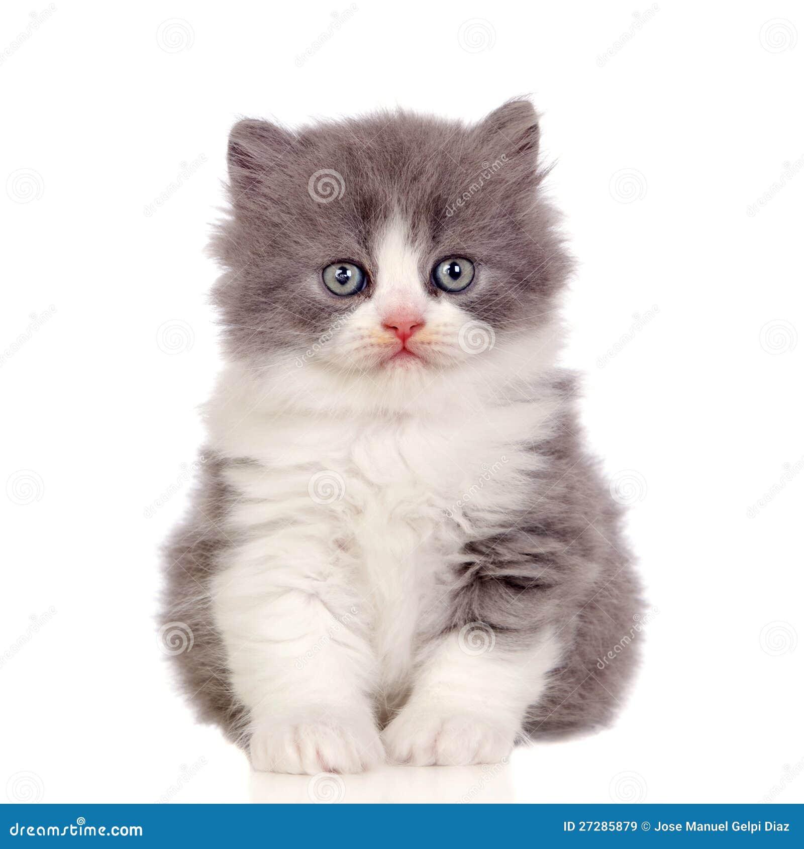 Gatito hermoso del angora con el pelo gris y suave