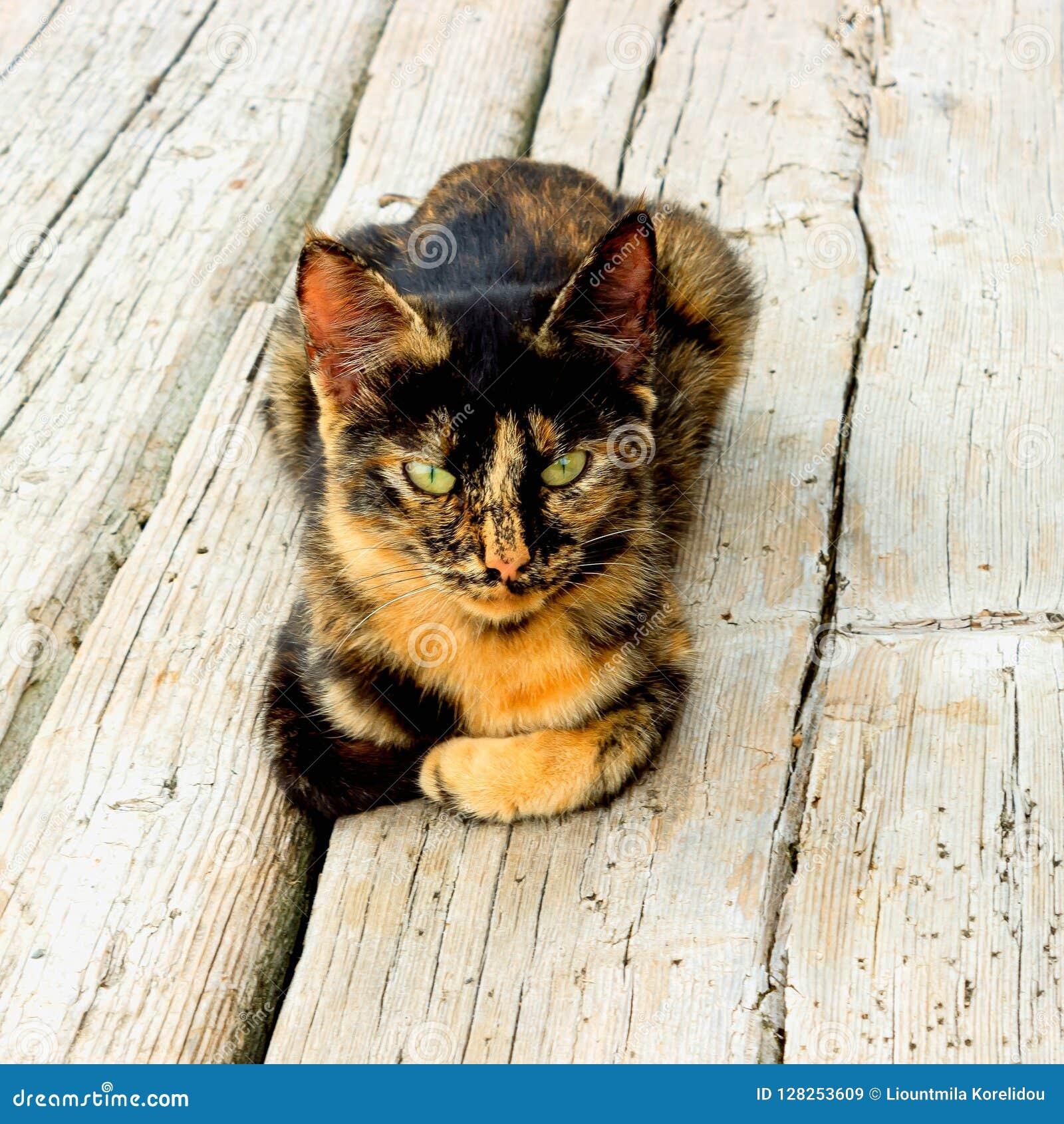 Gatito lindo que se sienta en un piso de madera El gato tiene un color inusual de la tortuga y el amarillo brillante observa