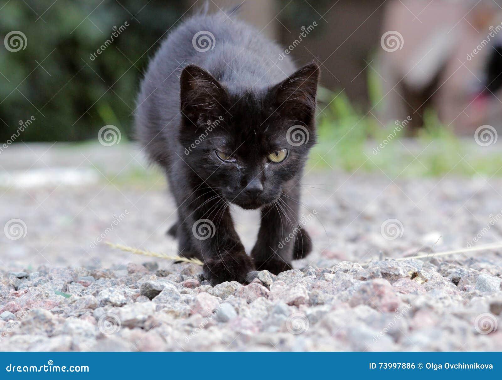 Gatito sin hogar infectado con herpesvirus o chlamydiosis felino