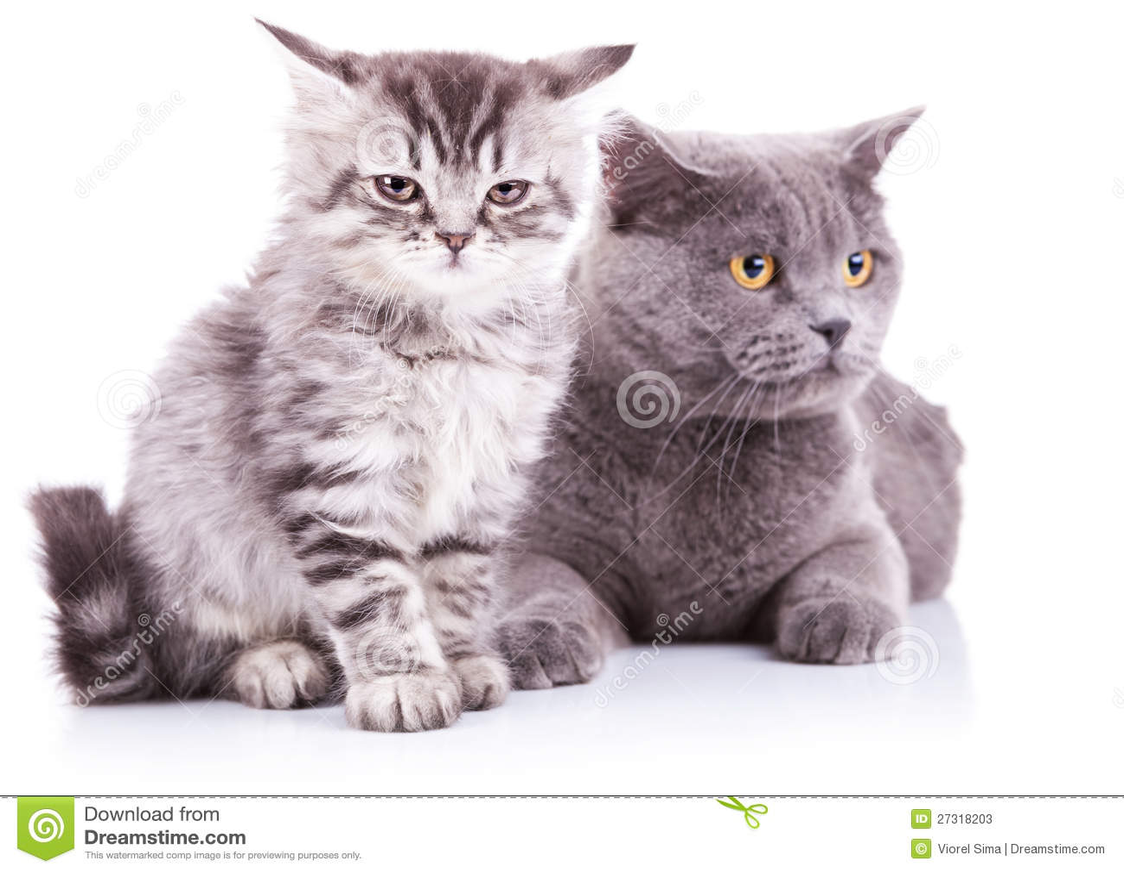Gatito y gatos ingleses adultos