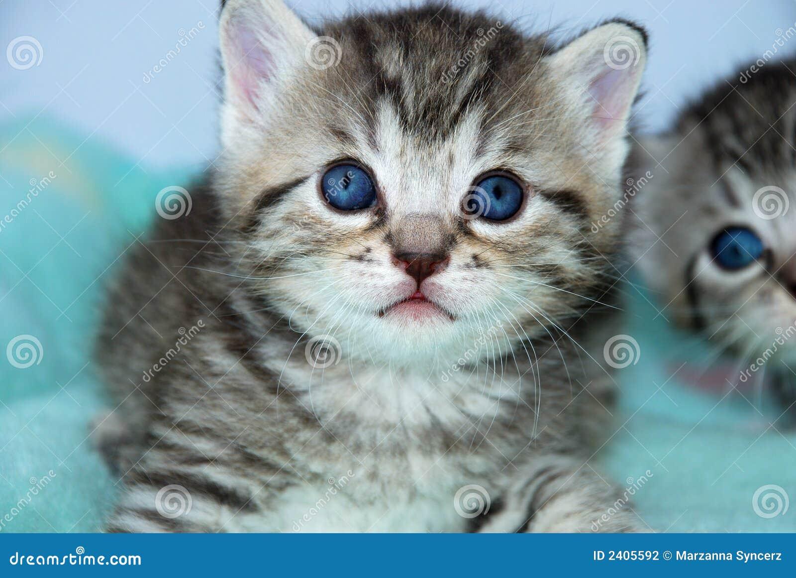 Gatitos grises del tigre