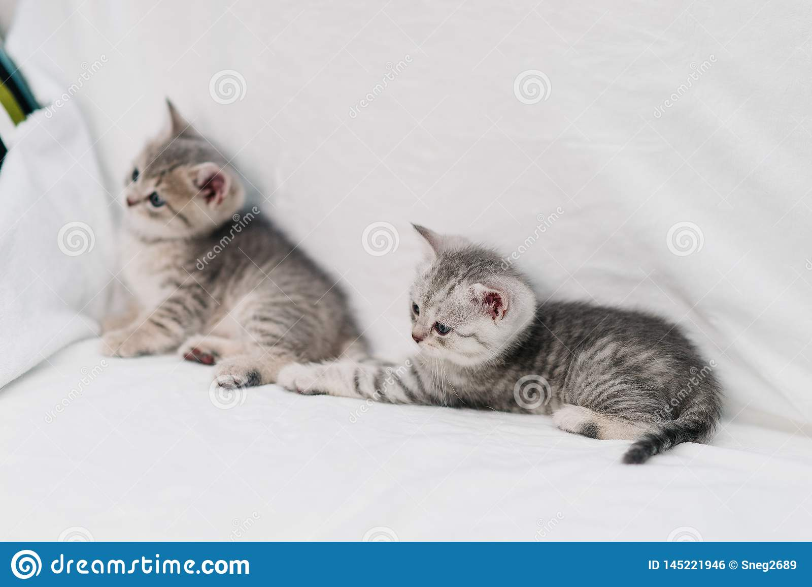 Gatitos grises que juegan en un sofá blanco