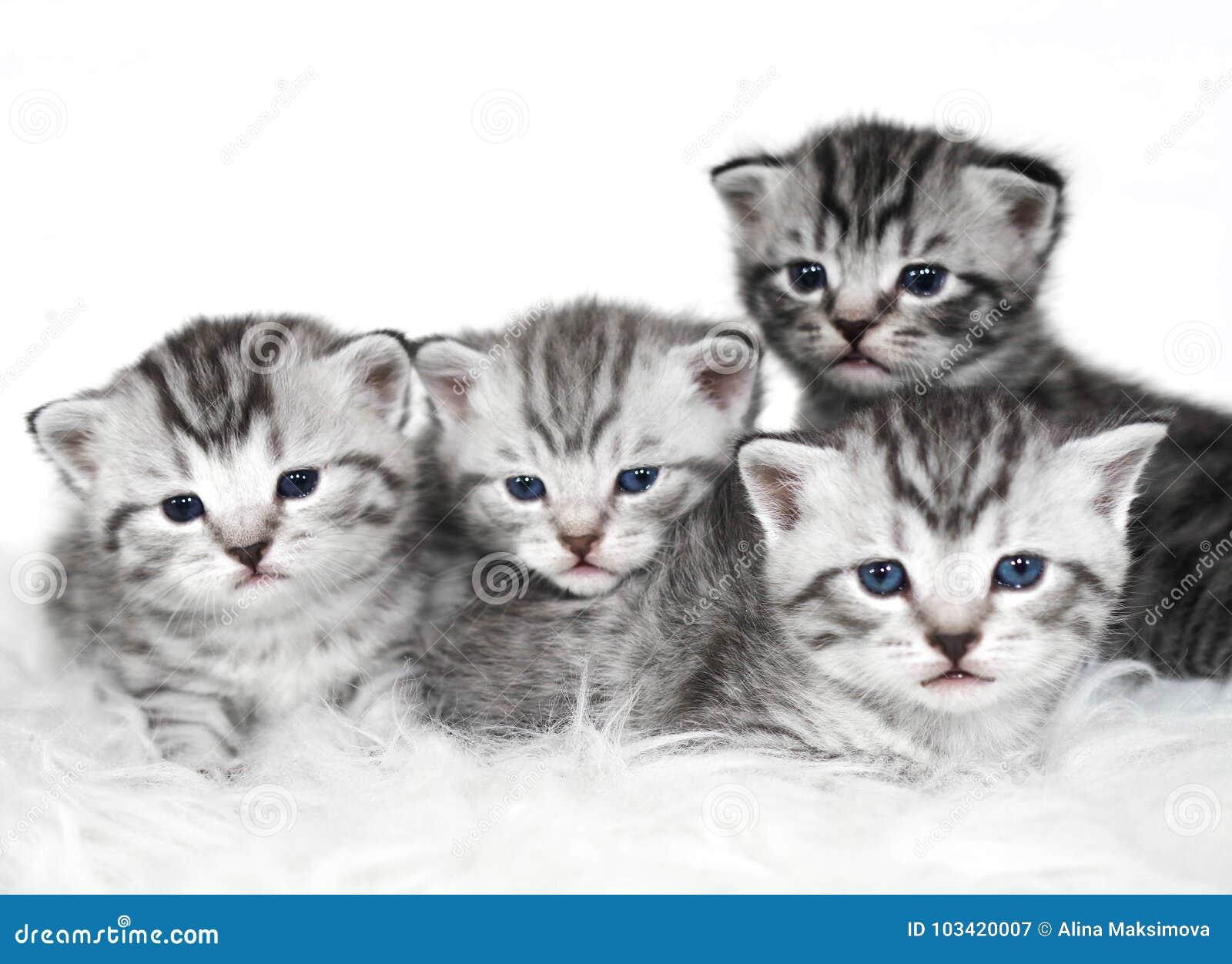 Gatitos Preciosos Del Color Gris Imagen de archivo - Imagen de gato ...