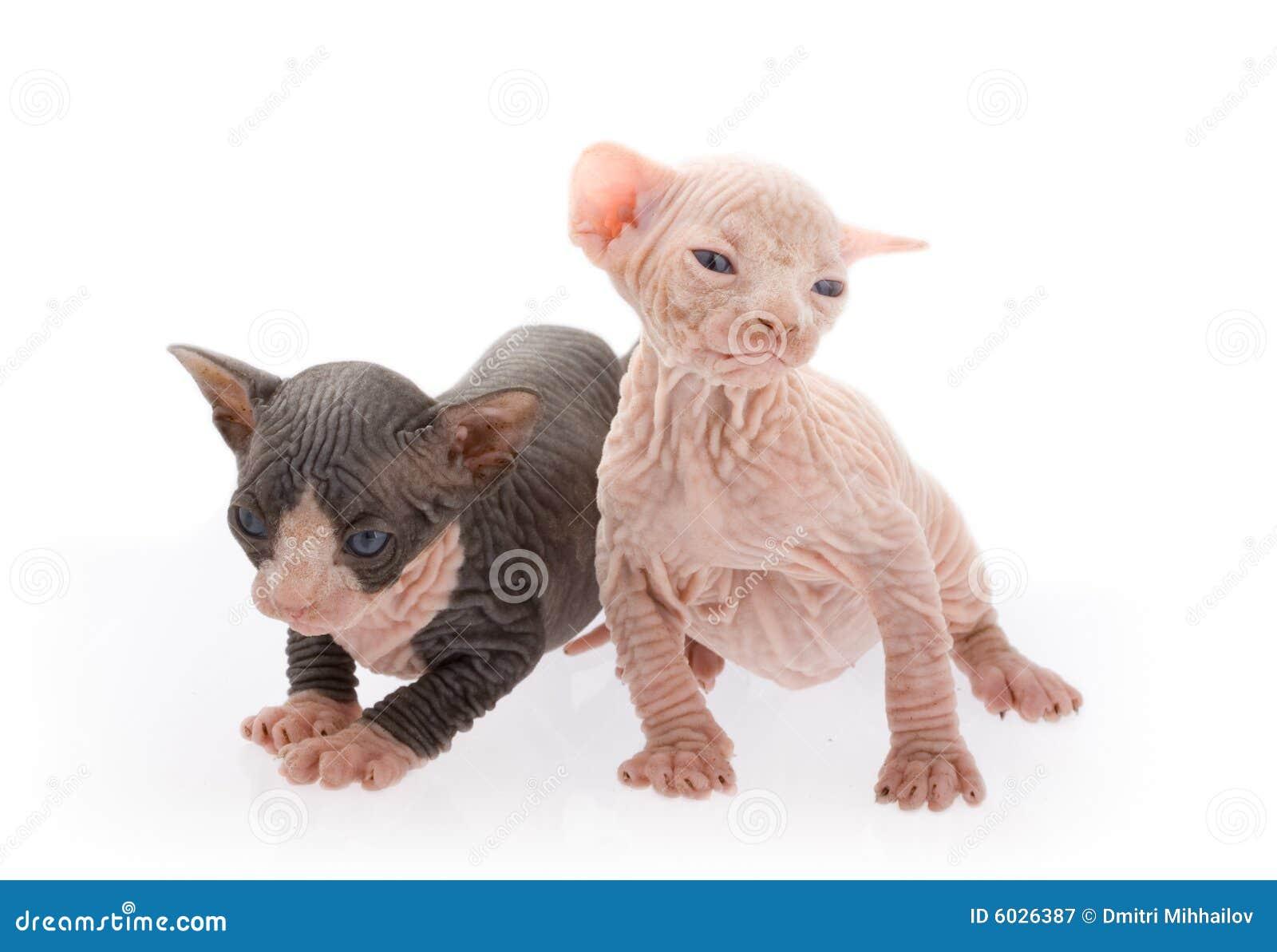 Gatitos recién nacidos de la esfinge