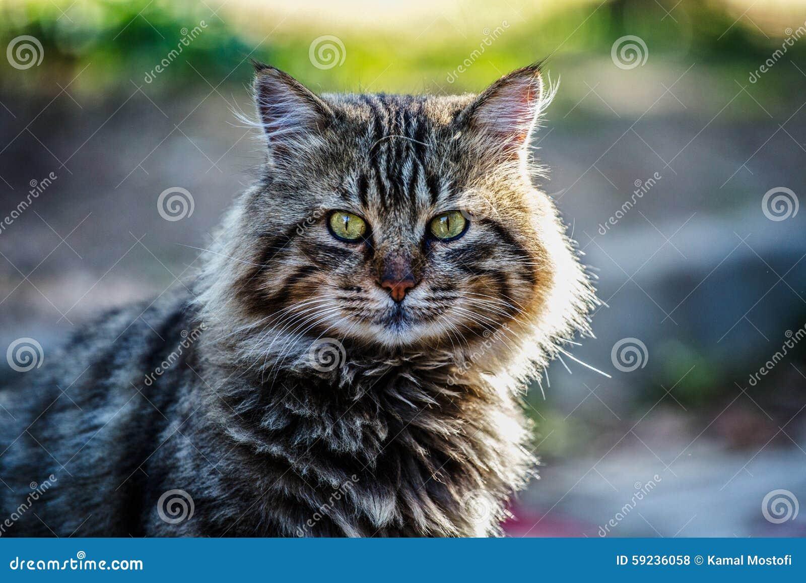 Download Gato foto de archivo. Imagen de gato, aún, mayor, turco - 59236058