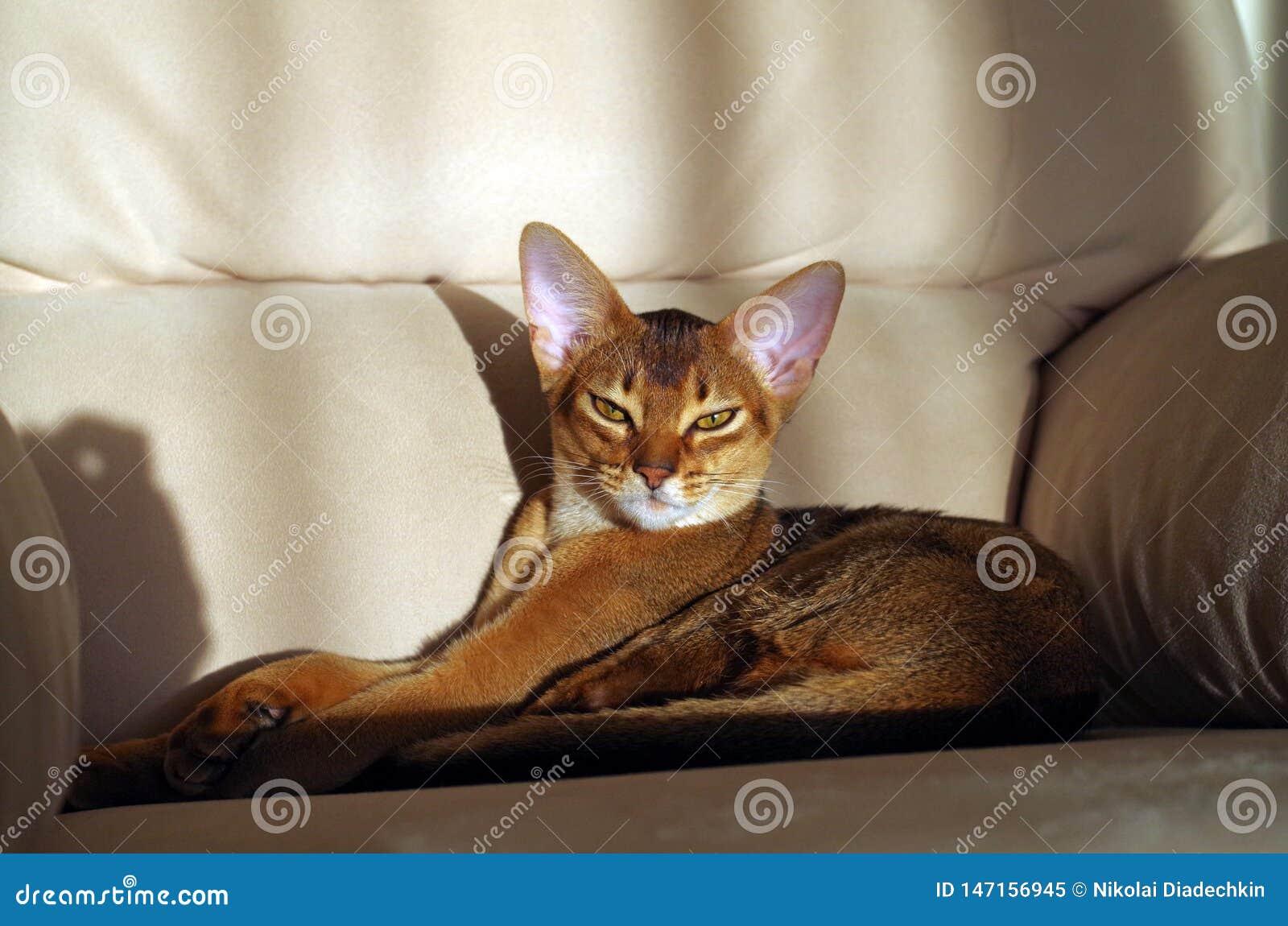 Gato abisinio que miente en el sofá