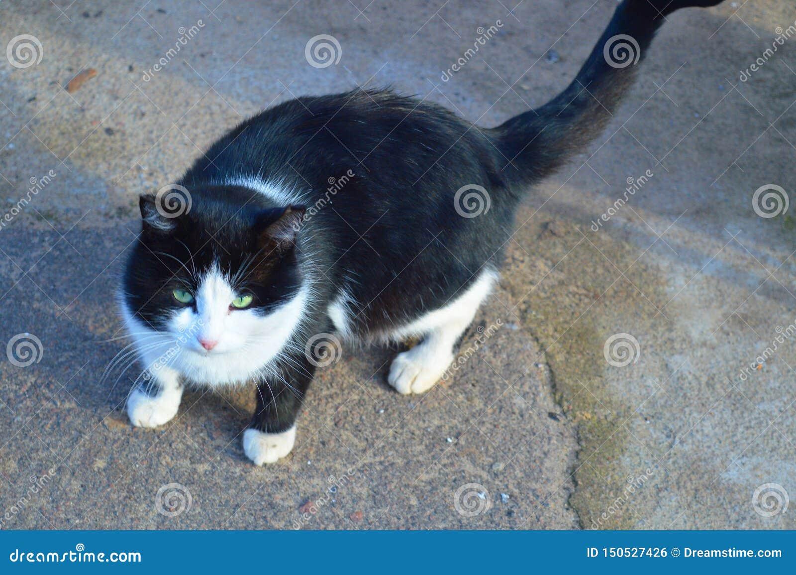 Gato ador?vel com olhos verdes