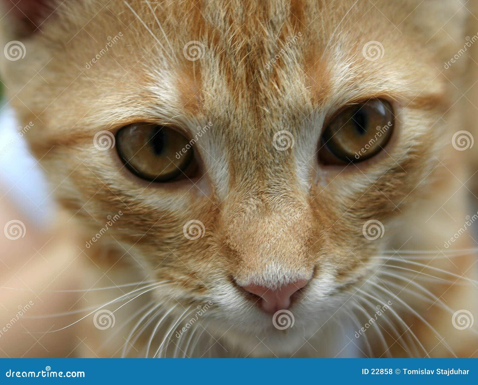 Gato alaranjado vermelho