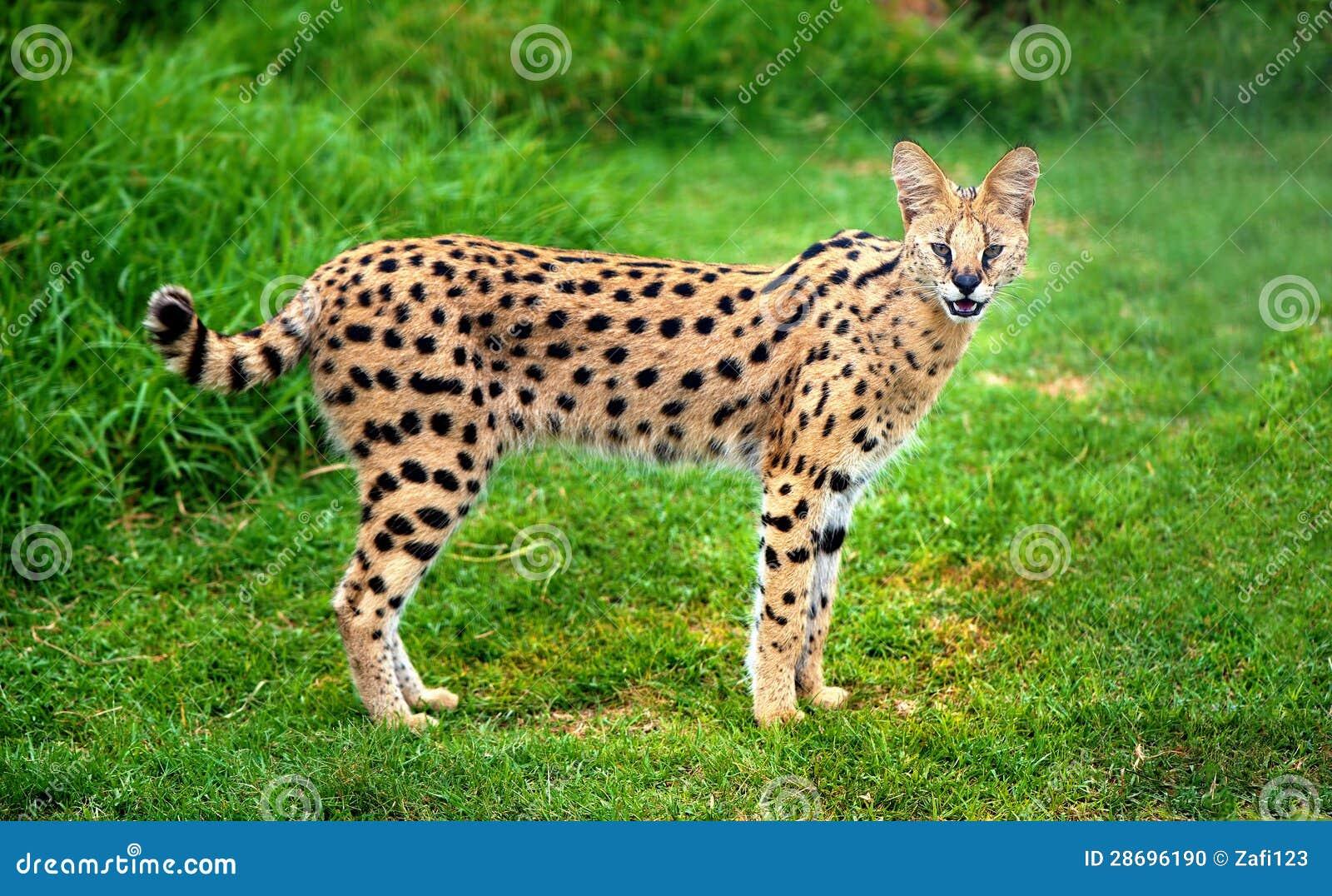Gato alerta do serval