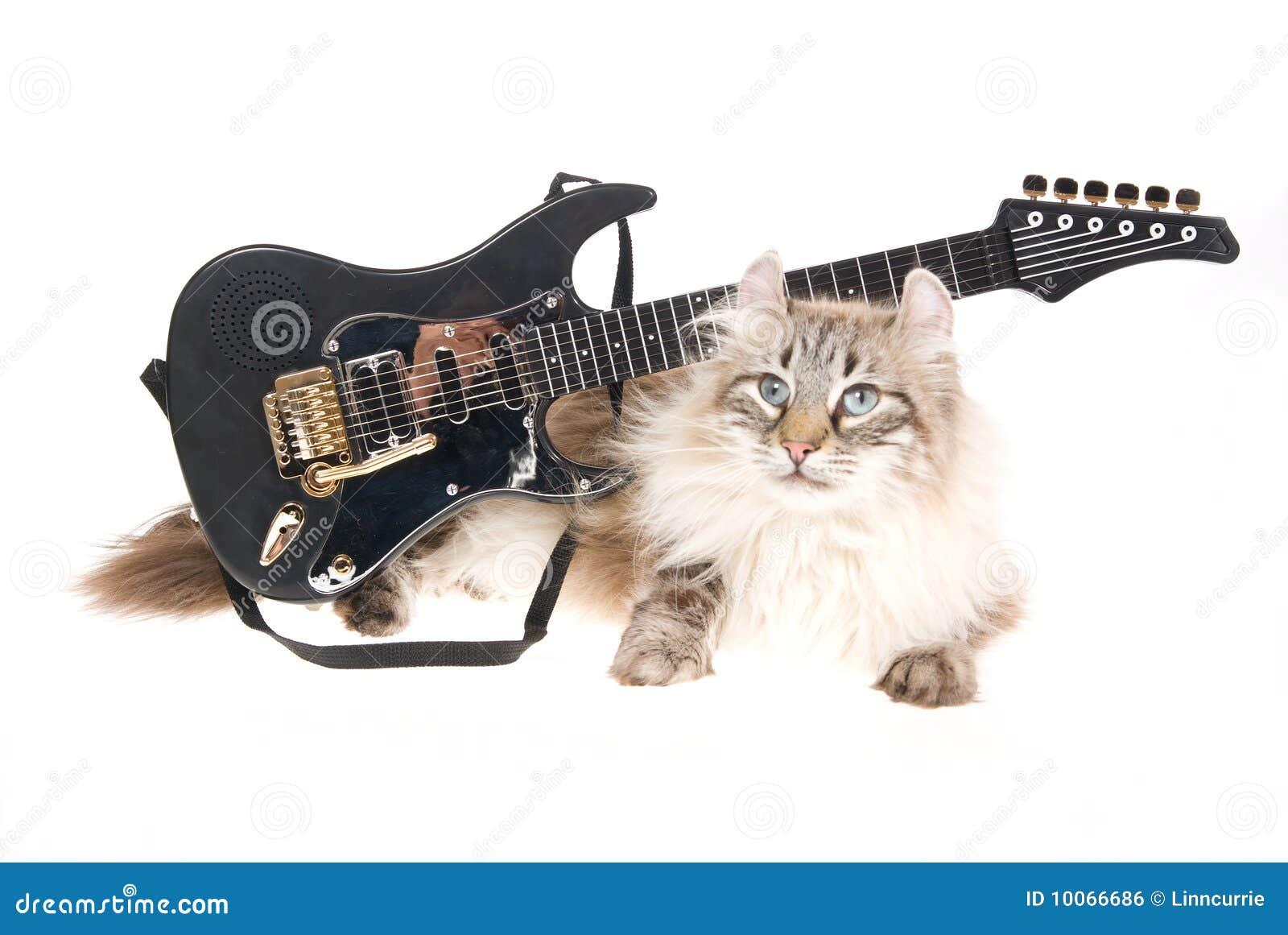 Gato americano da onda com mini guitarra