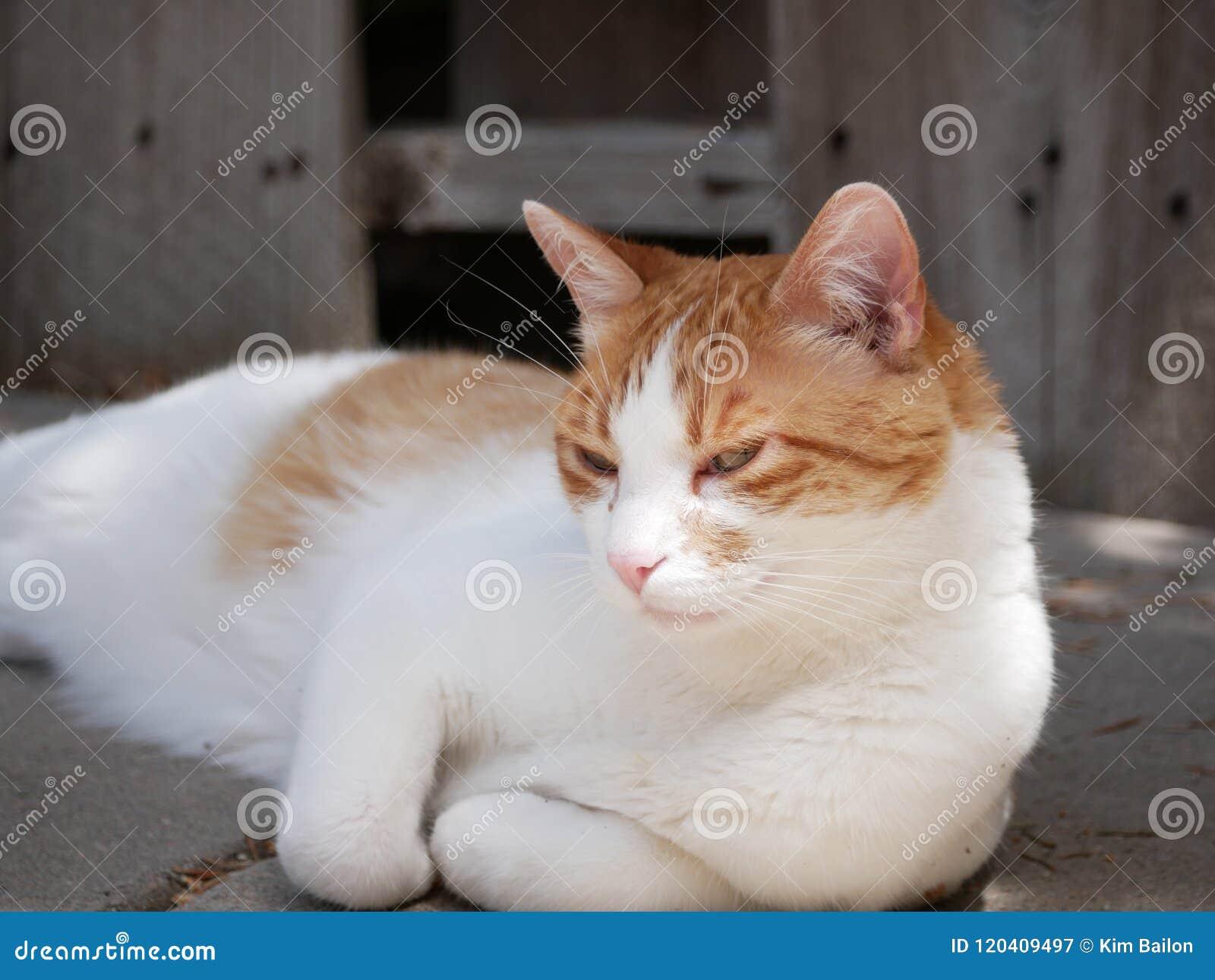Gato anaranjado y blanco que se relaja al aire libre