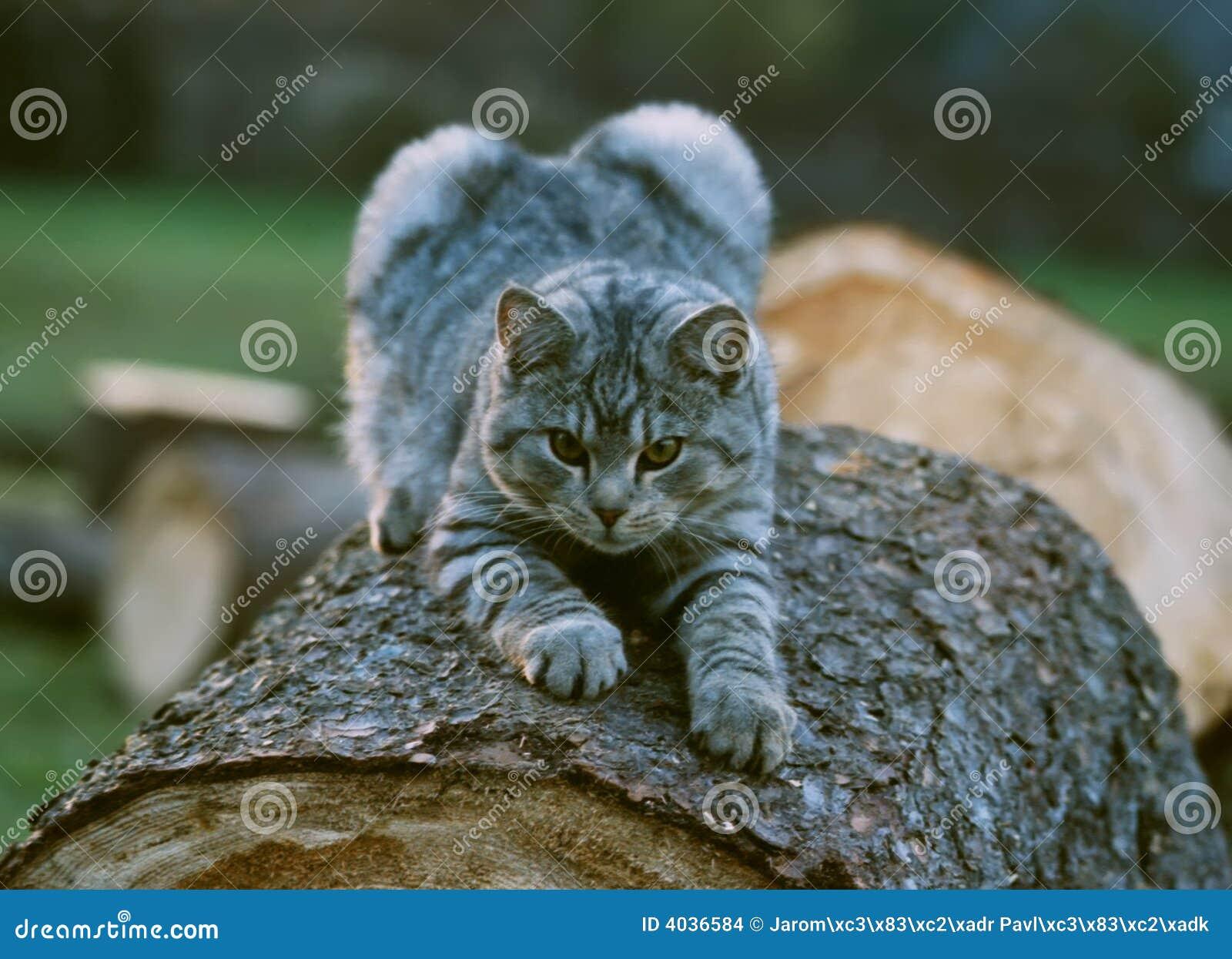 Gato antes de lunging