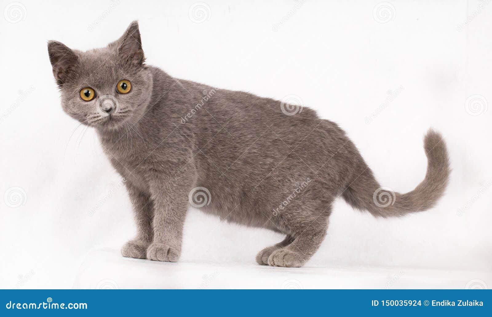 Gato azul lindo adorable del pelo corto de británicos del gato con los ojos anaranjados que miran la cámara aislada en el fondo b