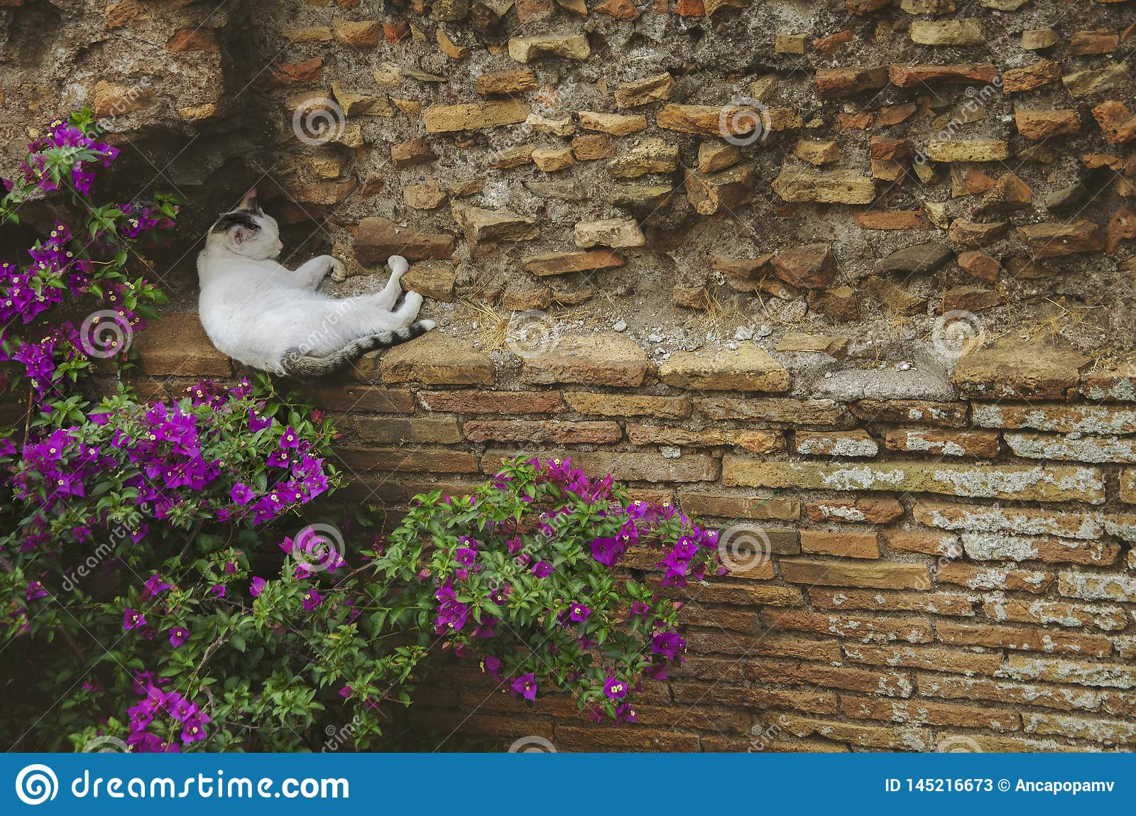 Gato blanco perdido adulto que toma una siesta en una pared de ladrillo cerca de algunas flores rosadas en Roma, Italia