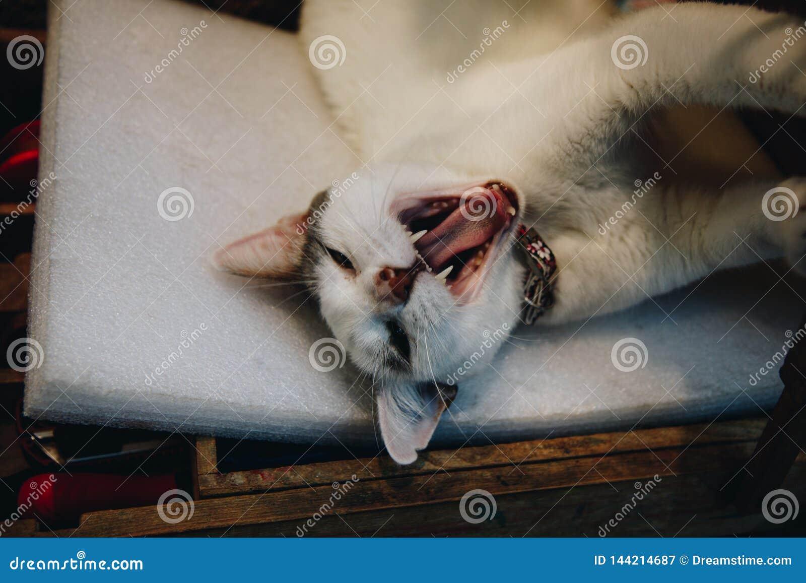 Gato blanco soñoliento que se relaja