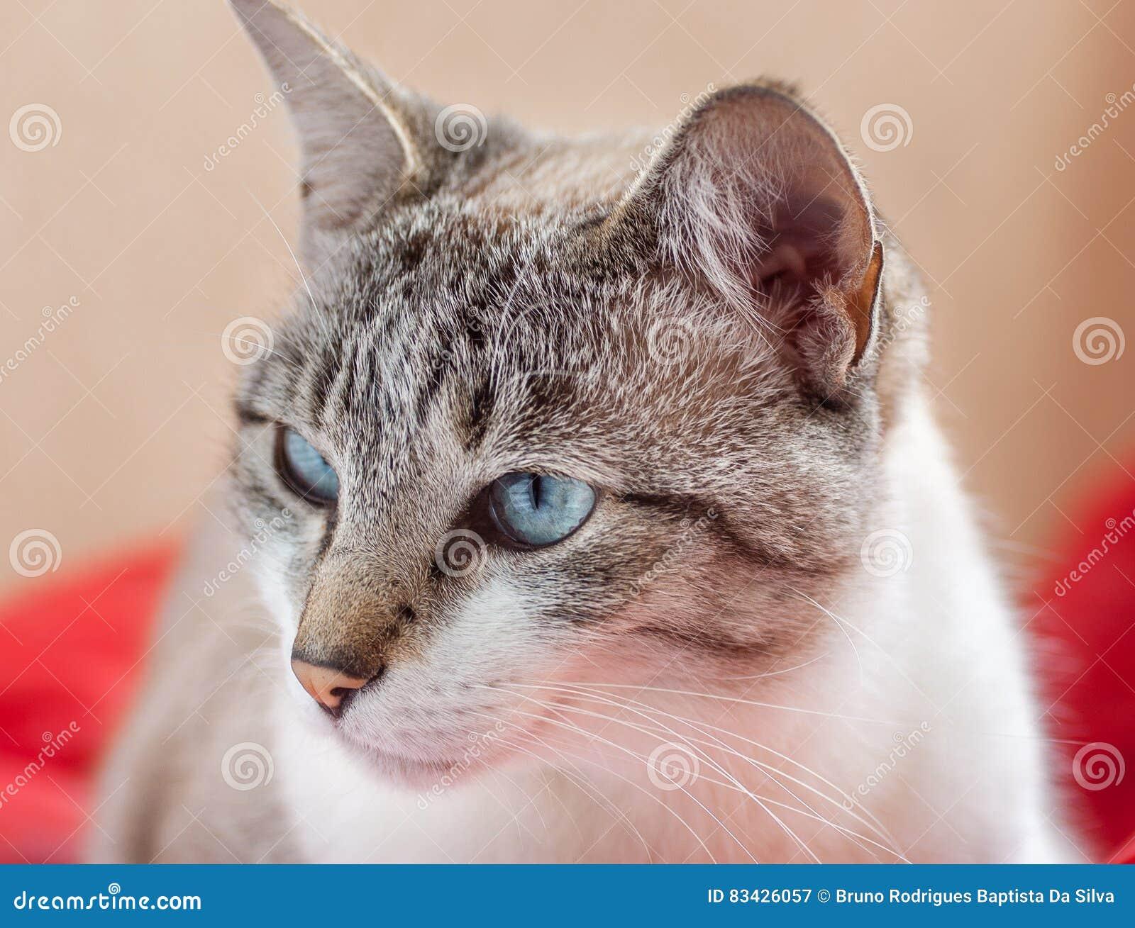 Gato Blanco Y Gris Con Los Ojos Azules Que Miran De Lado