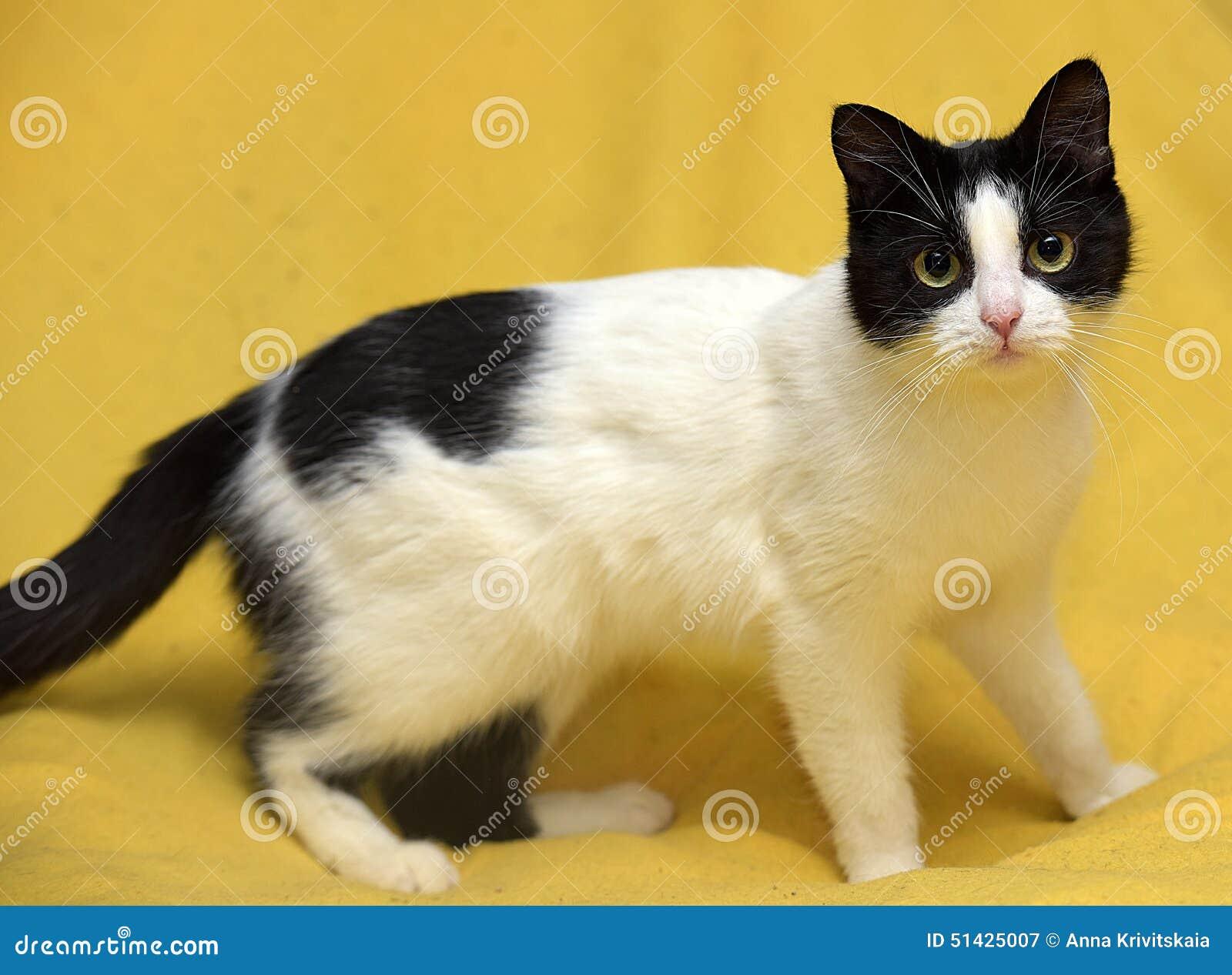 Gato Blanco Y Negro Con Los Ojos Amarillos Imagen De