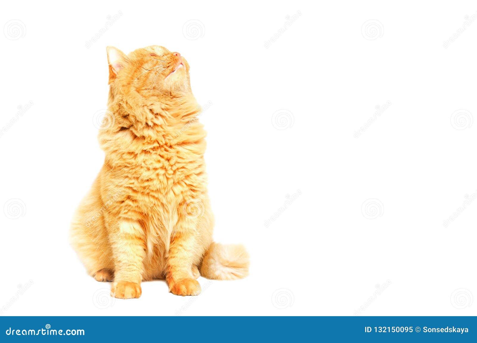 Gato bonito do gengibre que olha acima