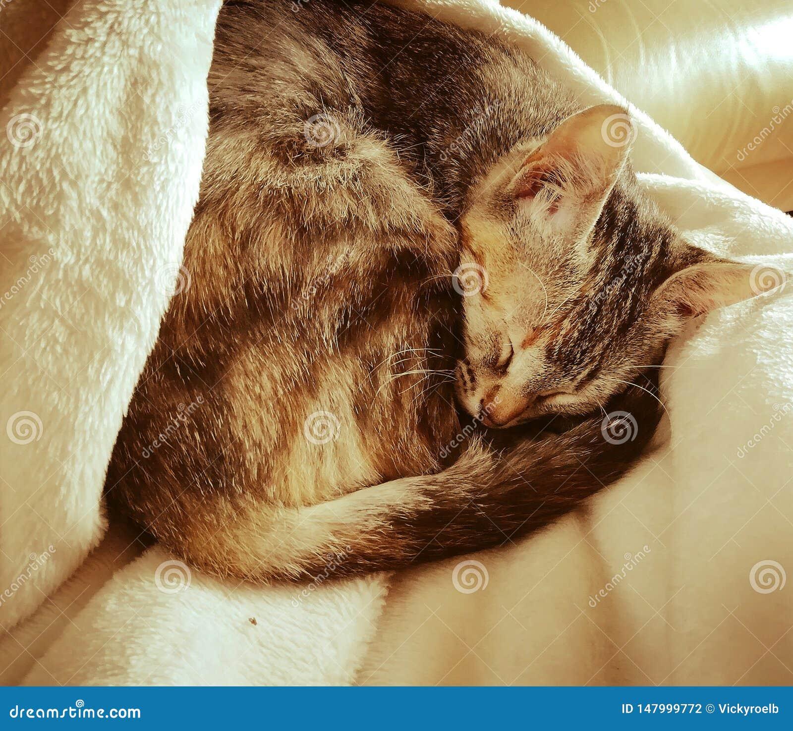 Gato bonito do sono