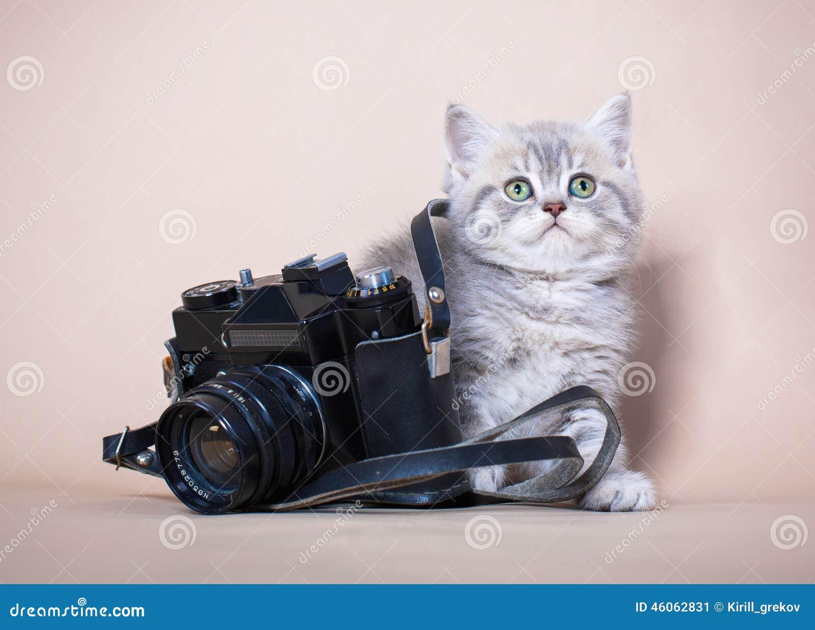 Gato británico del shorthair con la cámara