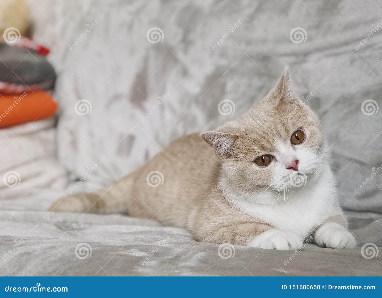 Gato británico del shorthair con los ojos grandes