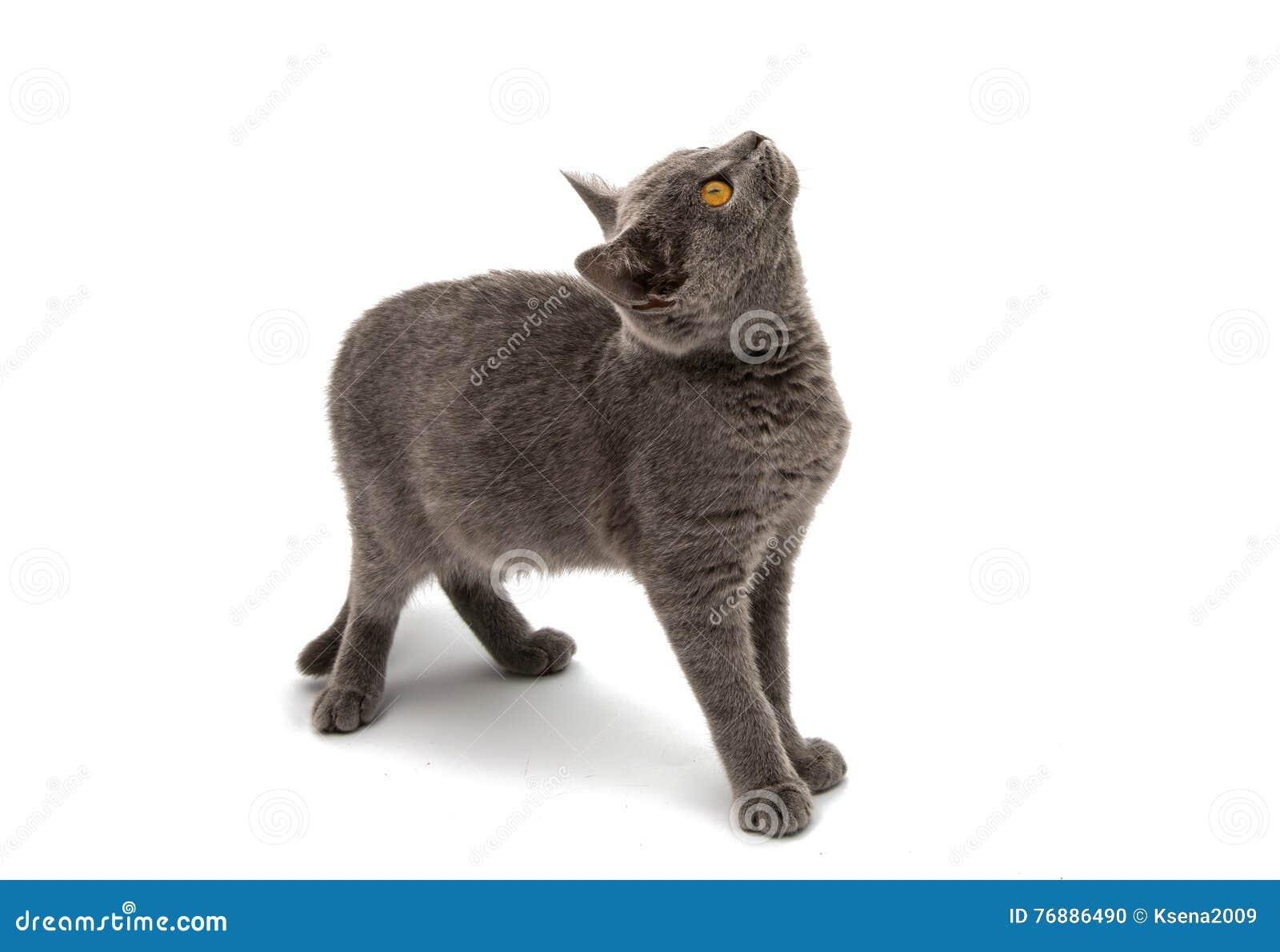 Gato britanico de pelo corto azul