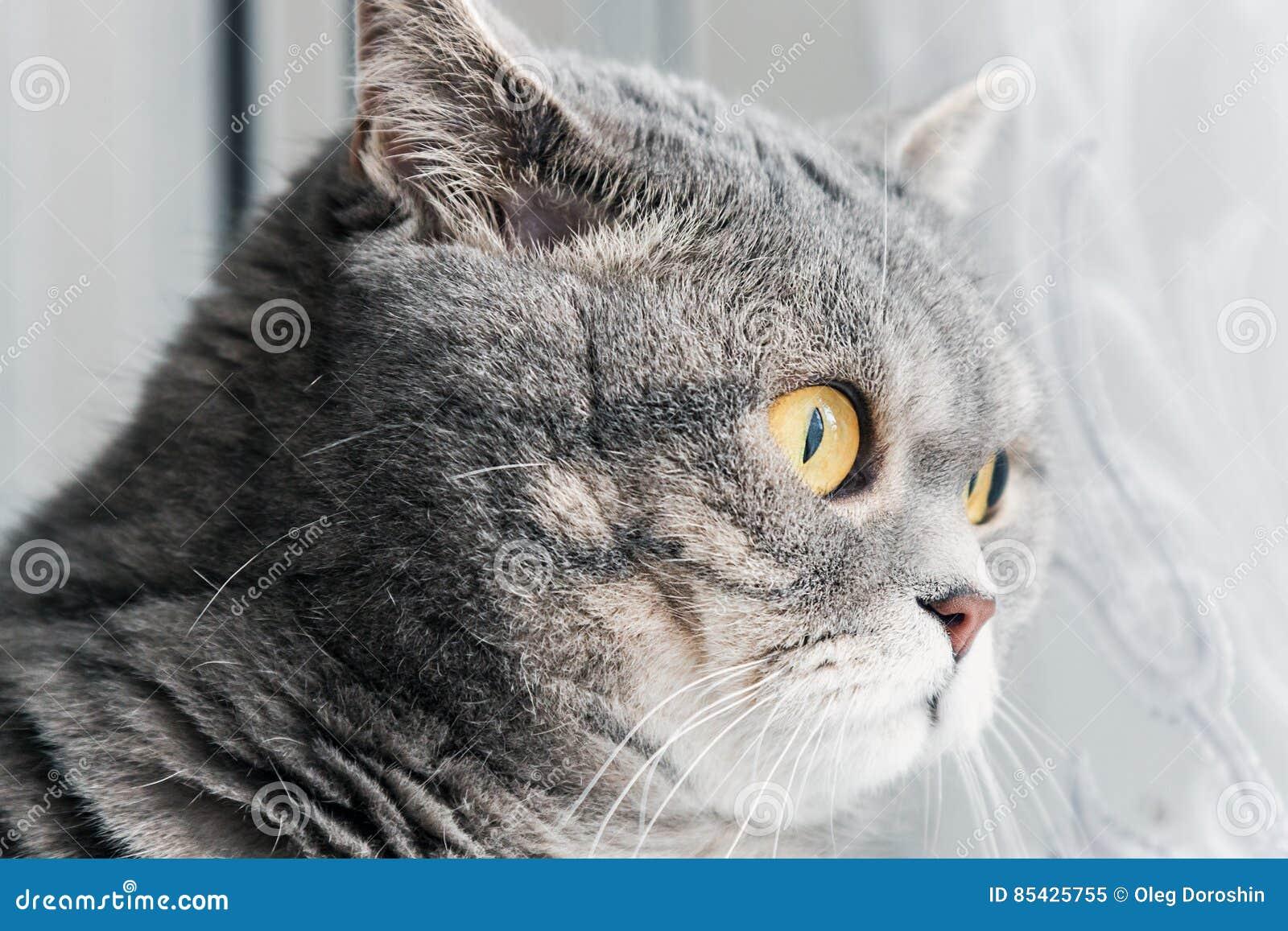 Gato britânico que olha atentamente na janela