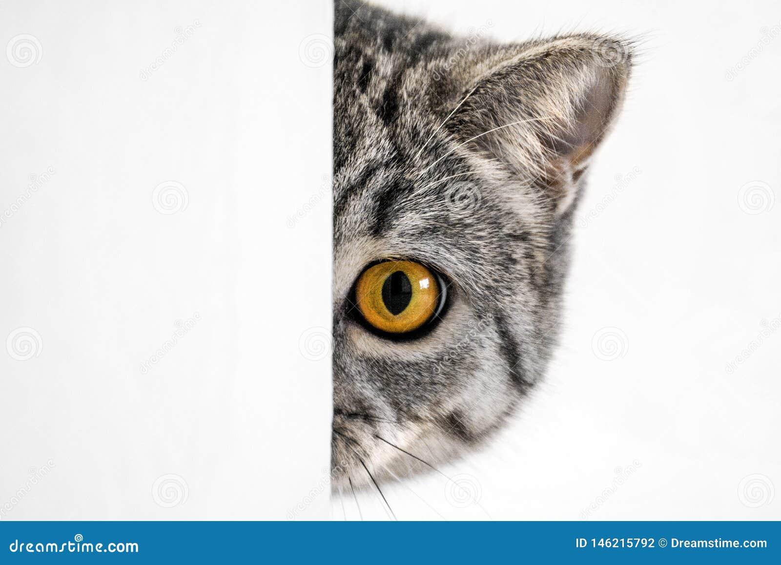 Gato brit?nico con los ojos anaranjados