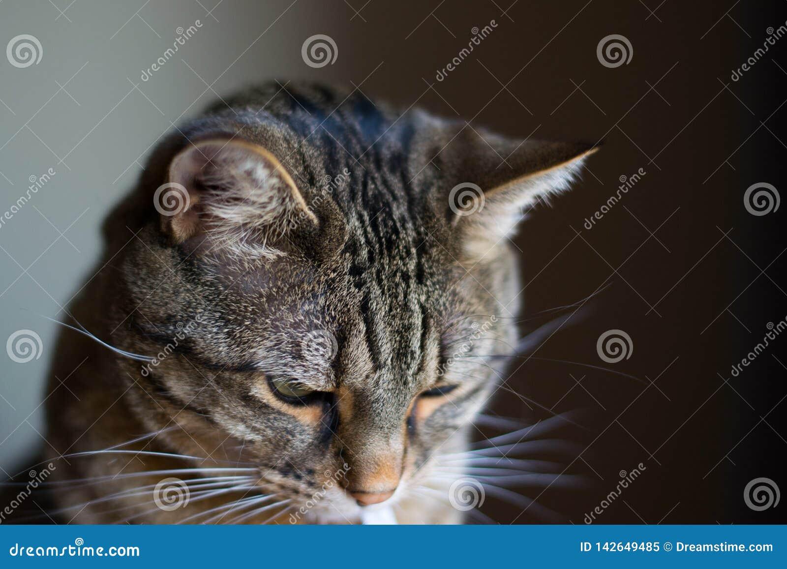 Gato calmo, domesticado do animal de estimação que olha para baixo, dentro