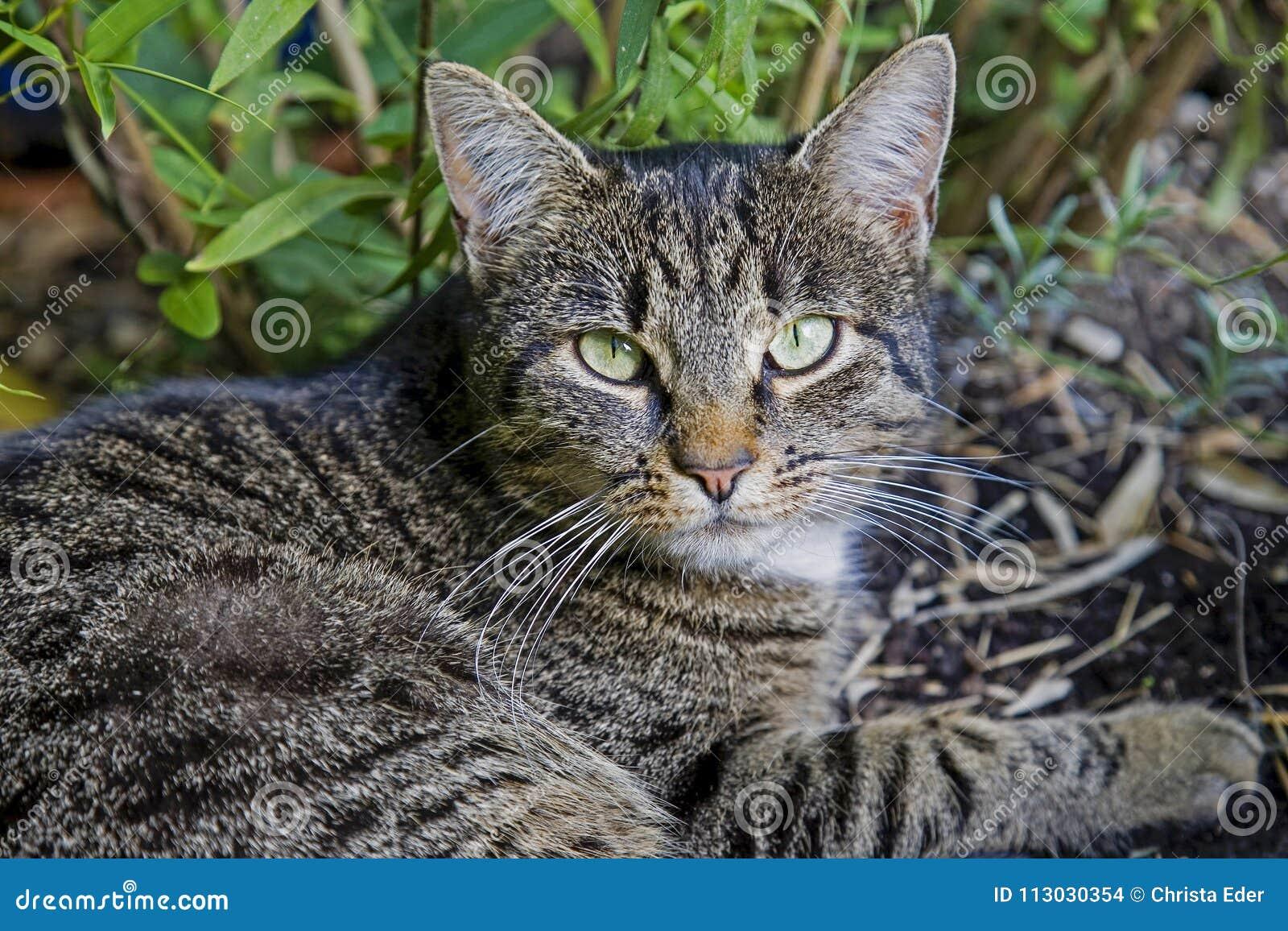 Gato camuflado bien en la posición que está al acecho