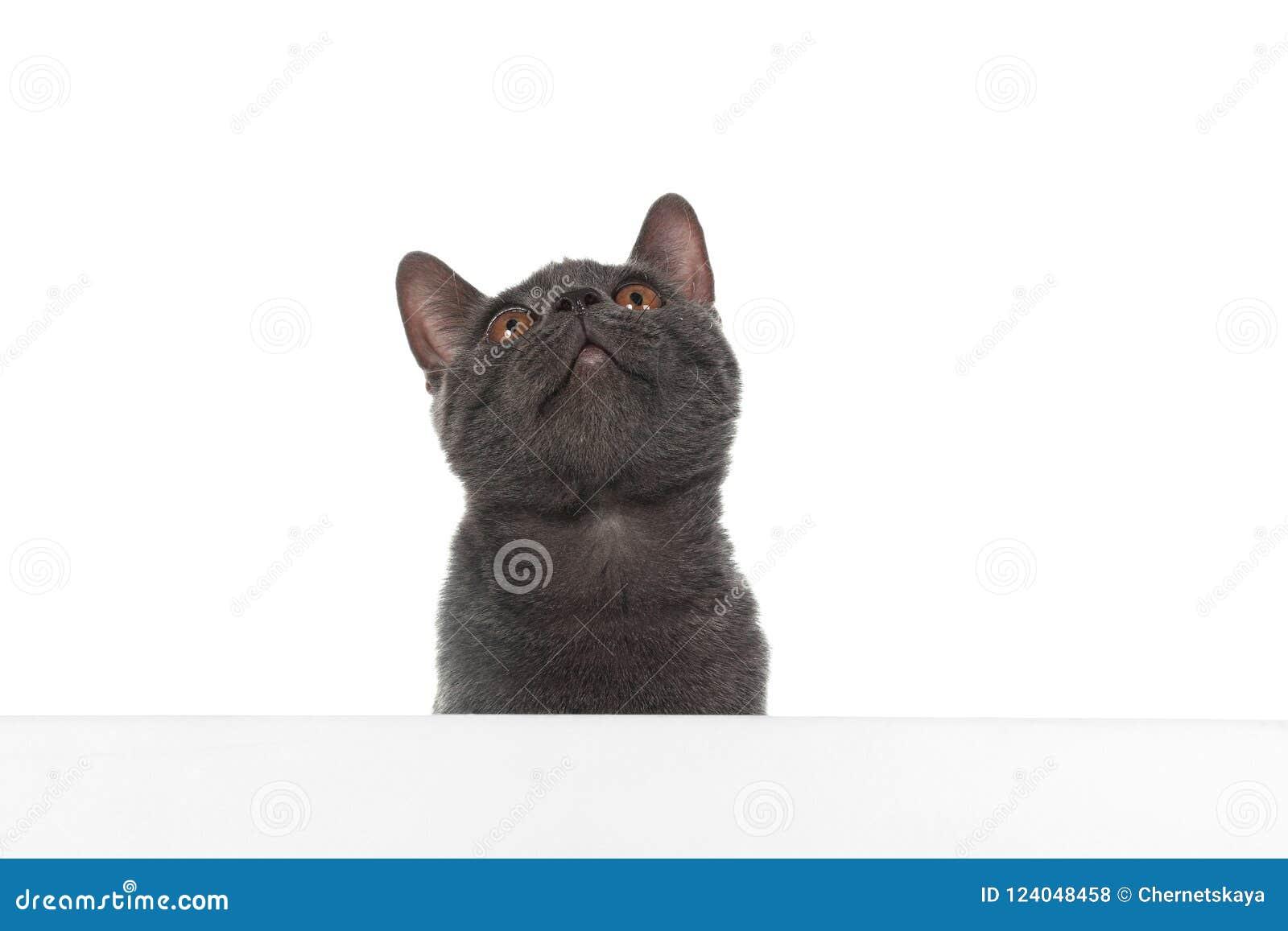 Gato cinzento adorável de Ingleses Shorthair com cartaz