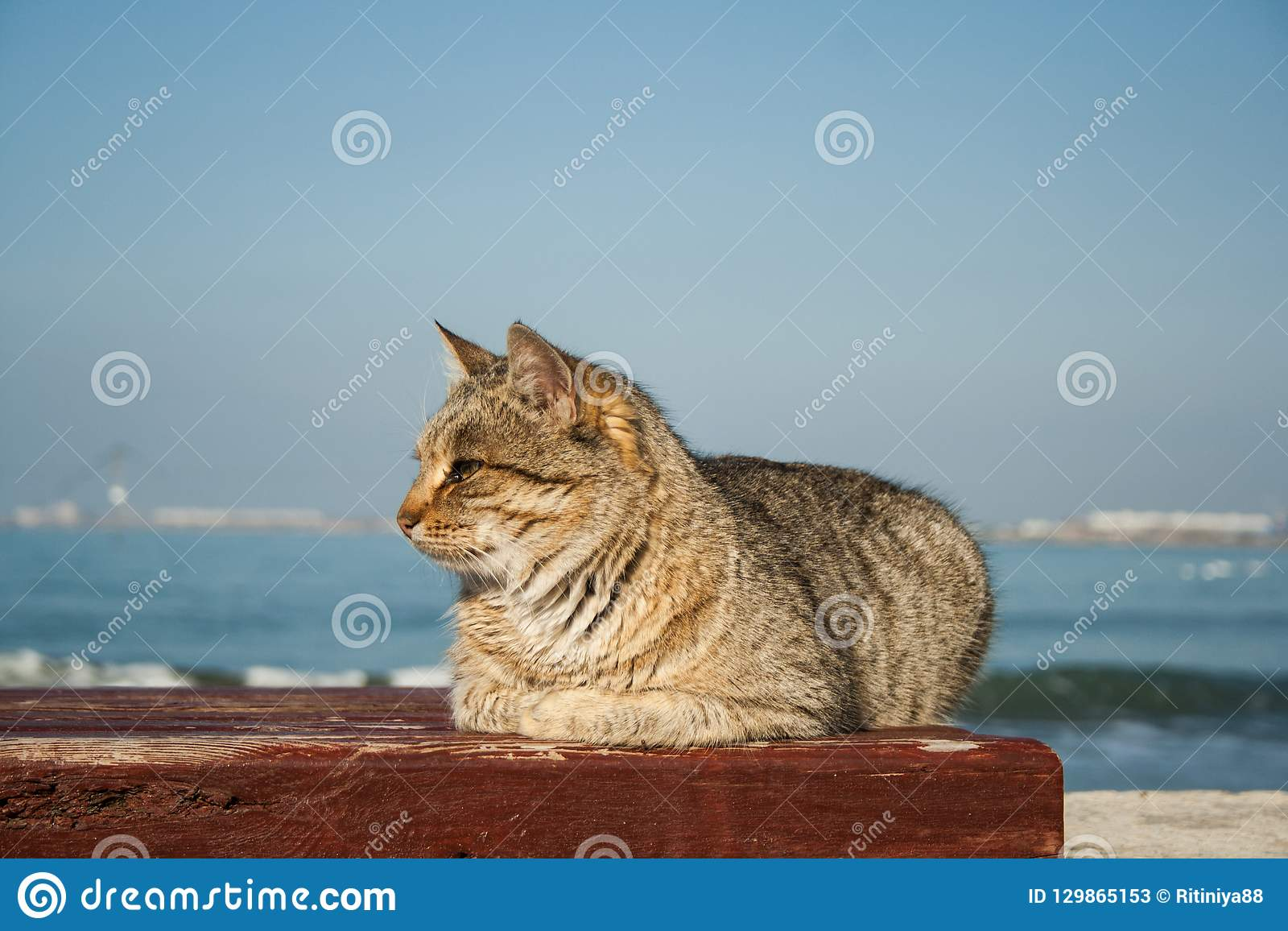 Gato cinzento bonito poderoso grande que senta-se no banco No fundo é o mar