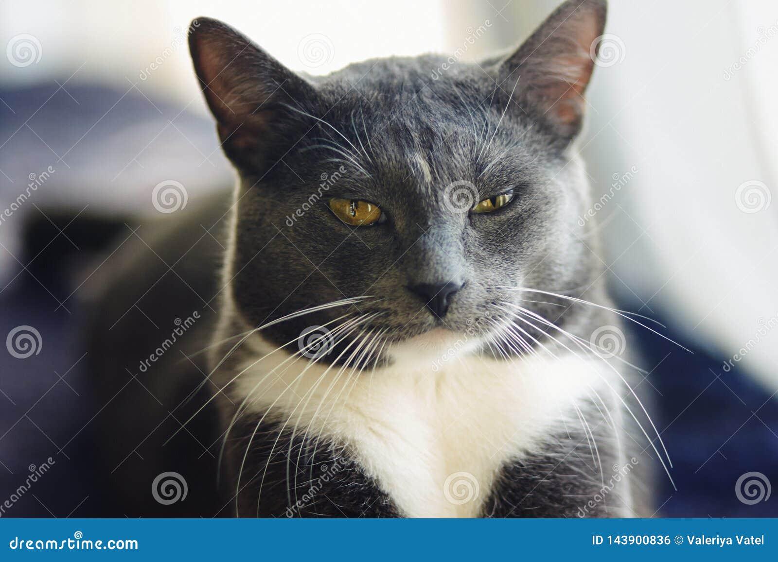 Gato cinzento novo do h?brido com encontro amarelo dos olhos