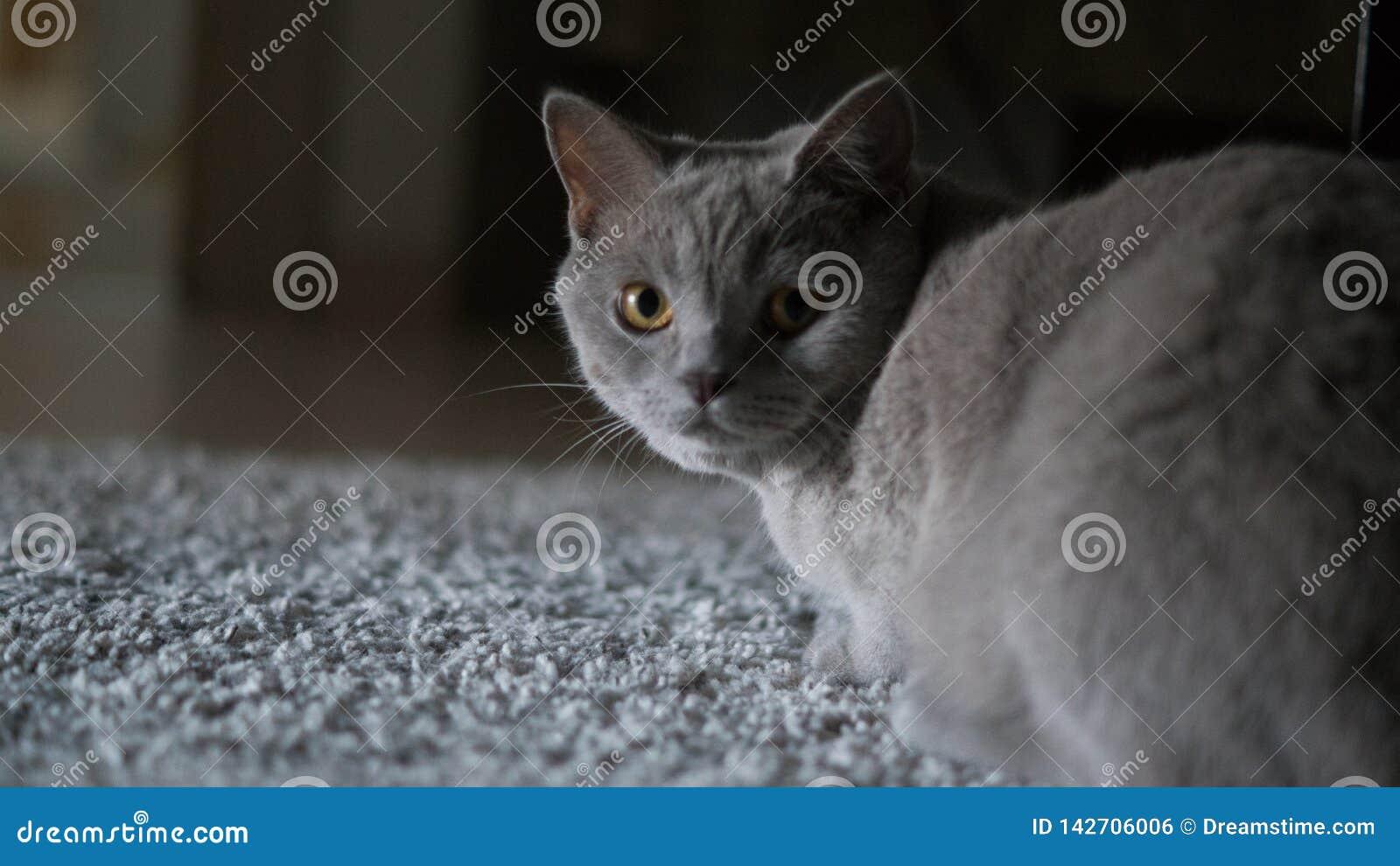 Gato cinzento que olha a câmera