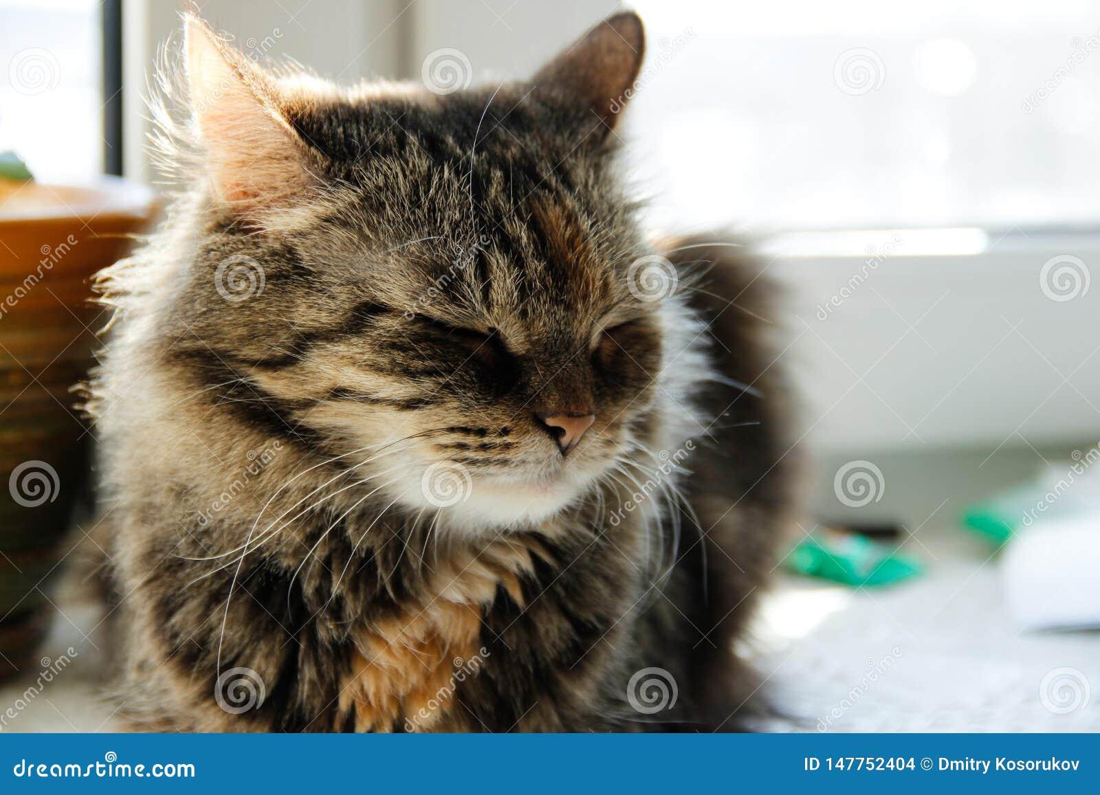 Gato cinzento sonolento que senta-se na janela