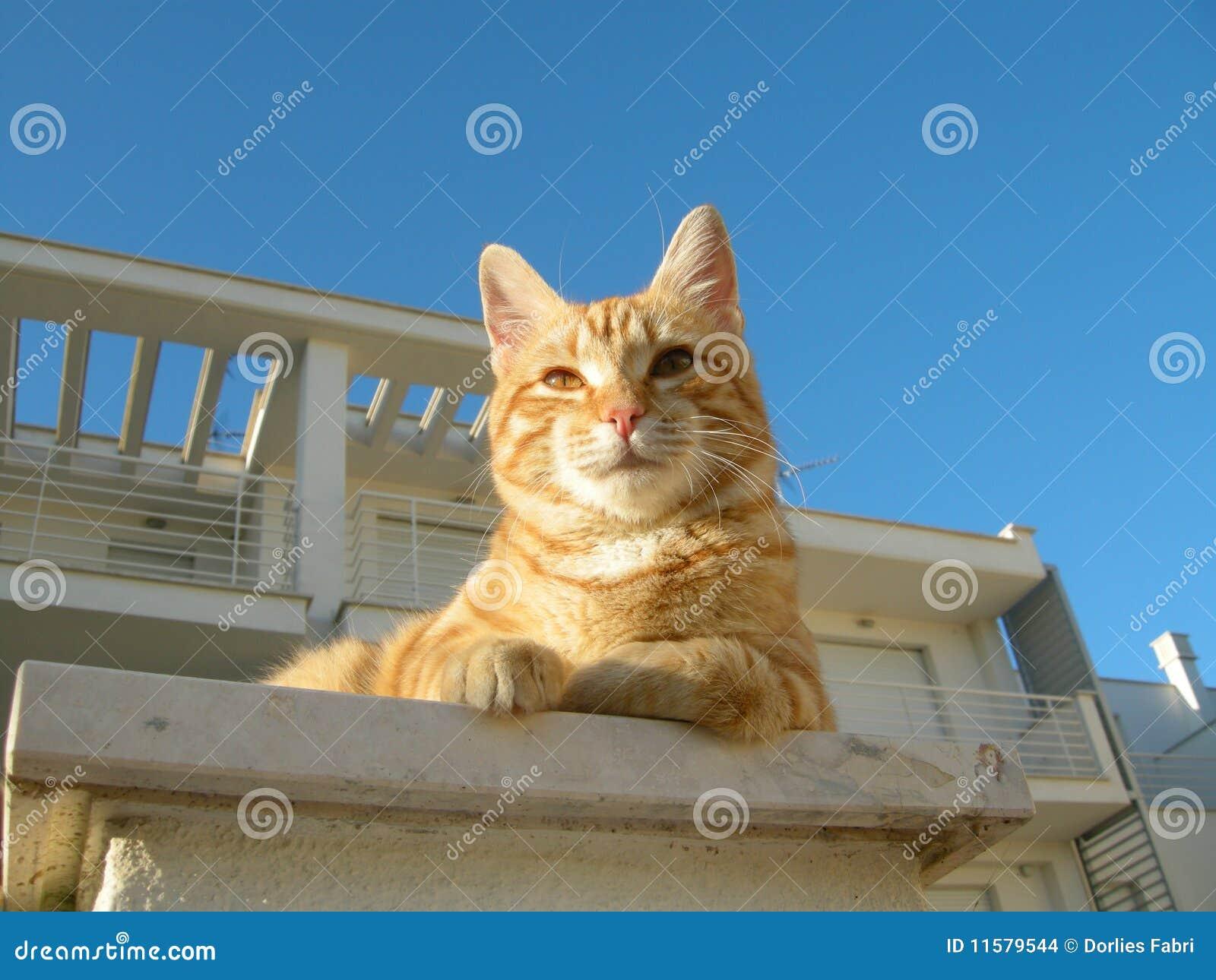 Gato colorido Brindle