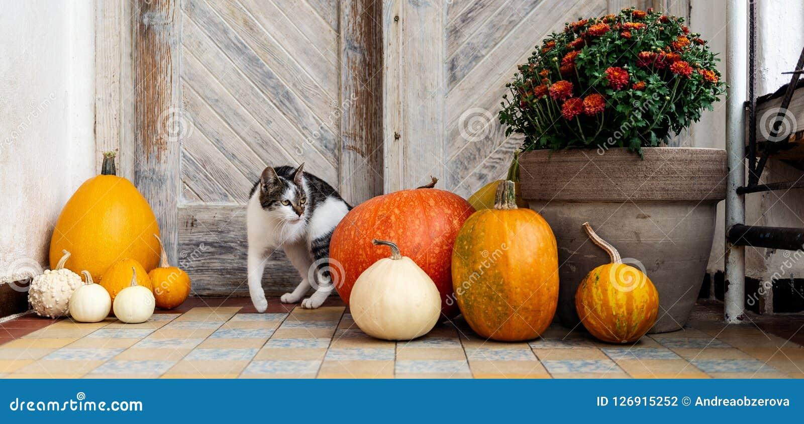 Gato com o pé amputado que está pela porta da rua decorada com abóboras Front Porch decorou para a ação de graças