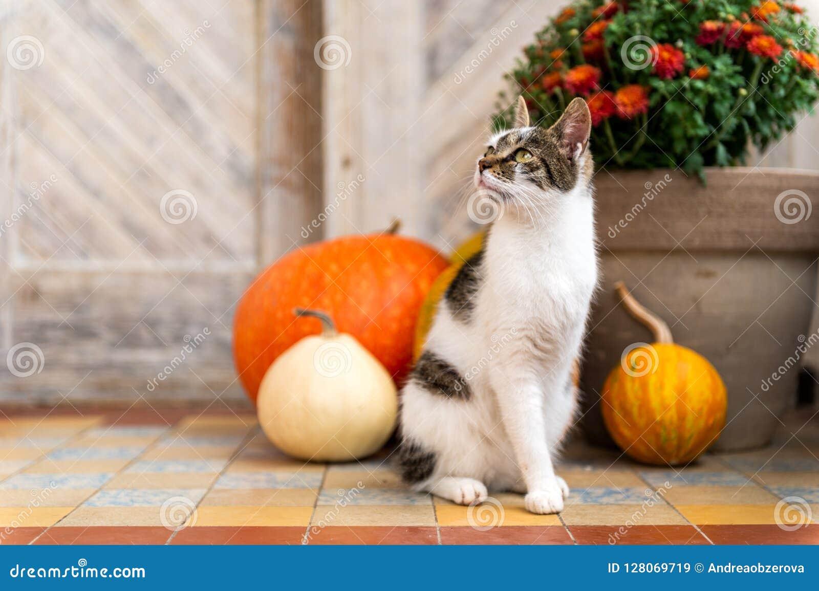 Gato com o pé amputado que senta-se na frente da porta da rua decorada com abóboras Front Porch decorou para a ação de graças