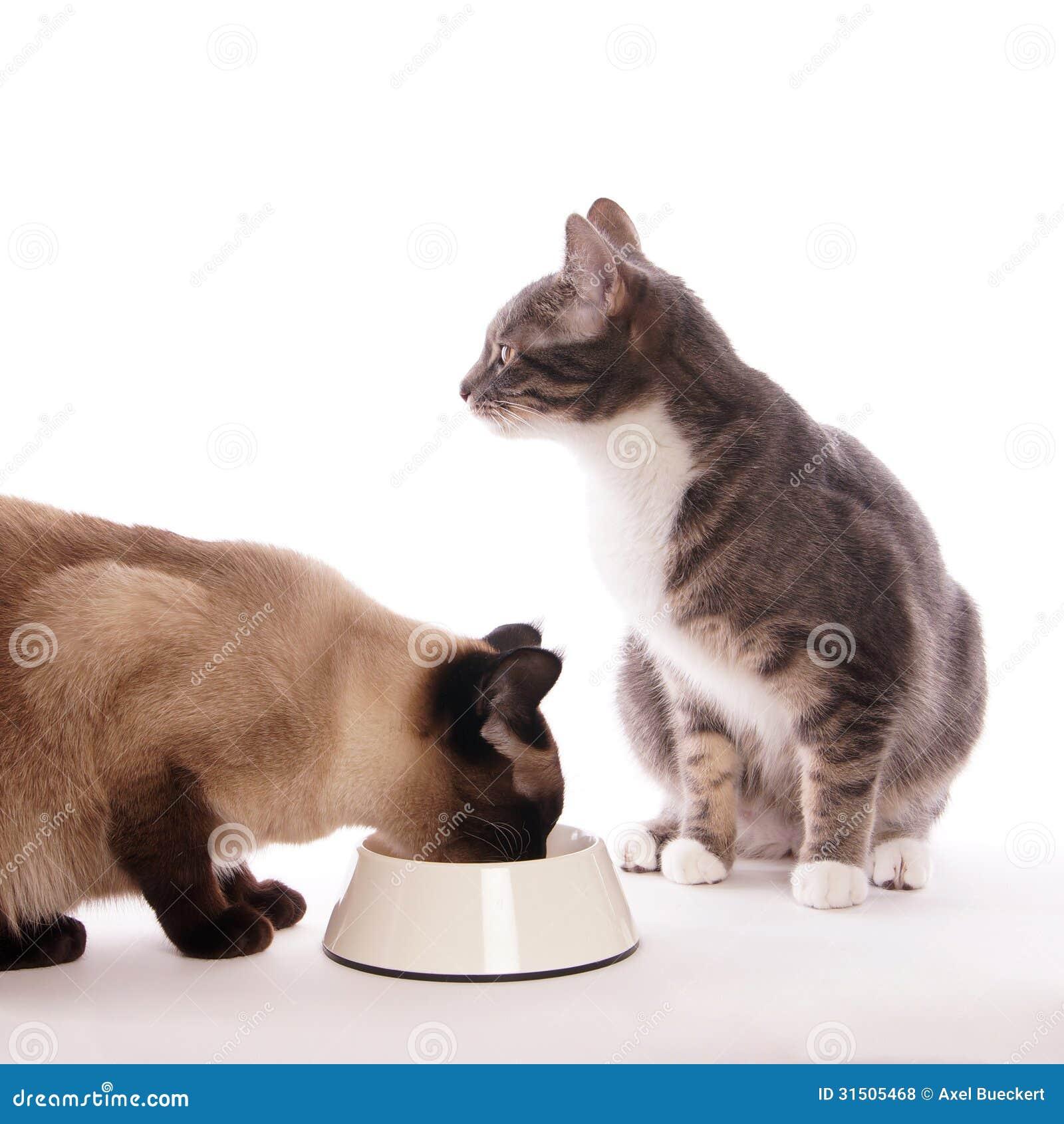Gato con el cuenco de alimentación