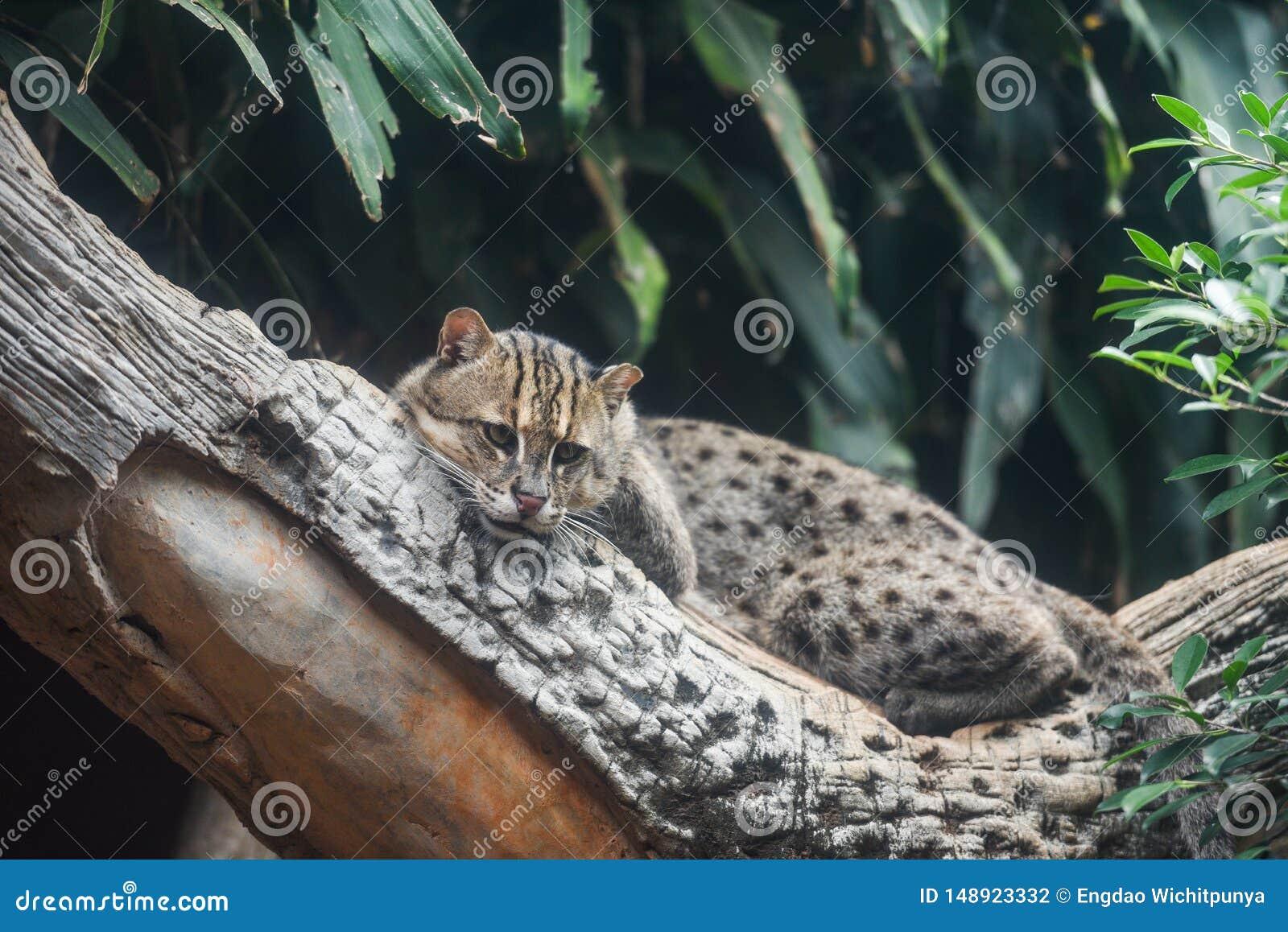 Gato da pesca que encontra-se na ?rvore do ramo na selva