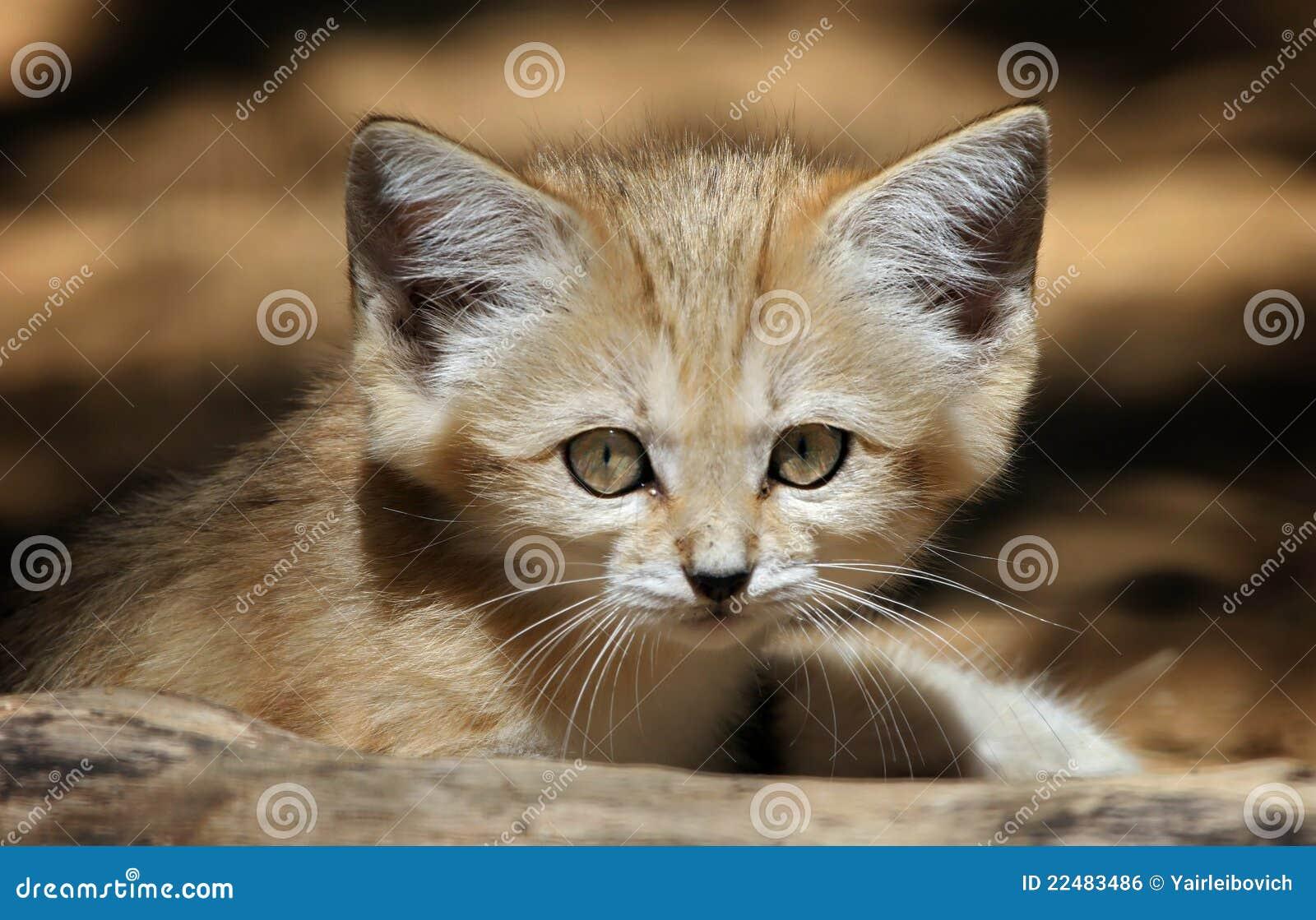 Gato de areia