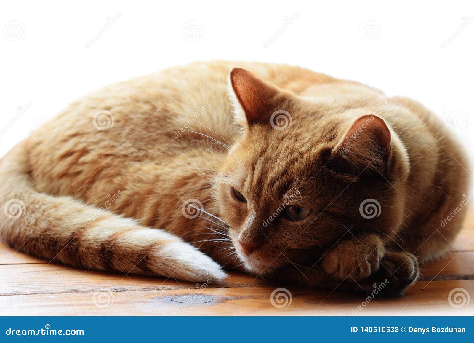 Gato de gato atigrado del jengibre rojo que descansa sobre una superficie de madera