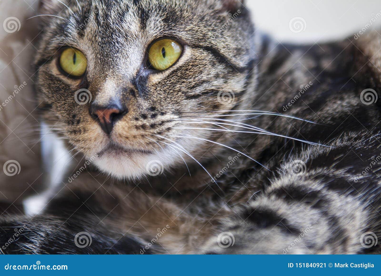 Gato de gato atigrado que mira intenso en la distancia cercana con los ojos amarillos vibrantes