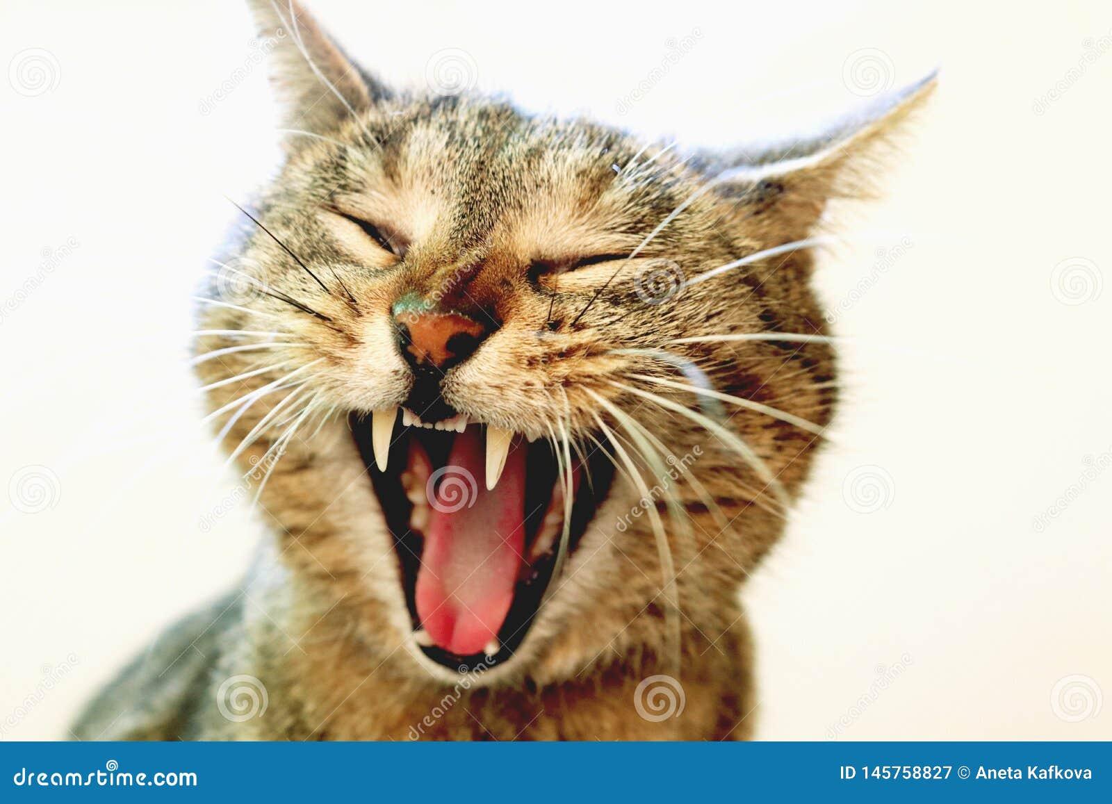 Gato de bocejo engra?ado