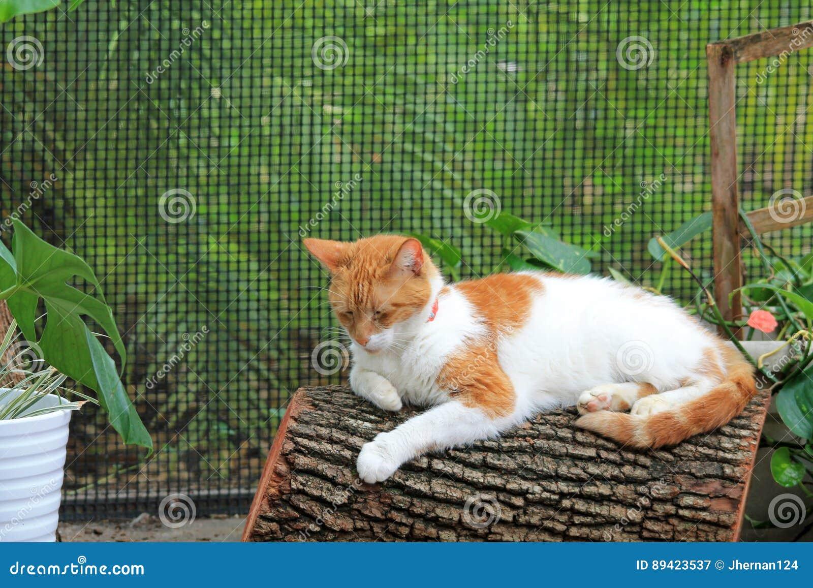 Gato de cabelos curtos doméstico alaranjado e branco no log