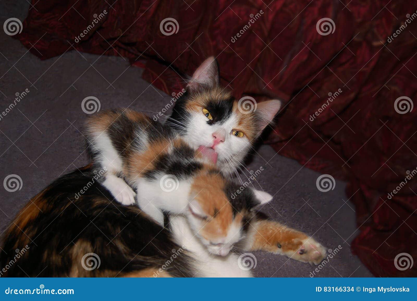 Gato de chita que lambe seu gatinho