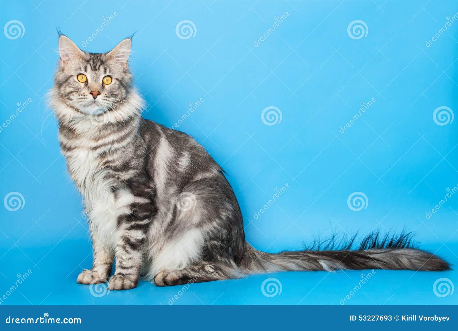 Gato de Coon de Maine
