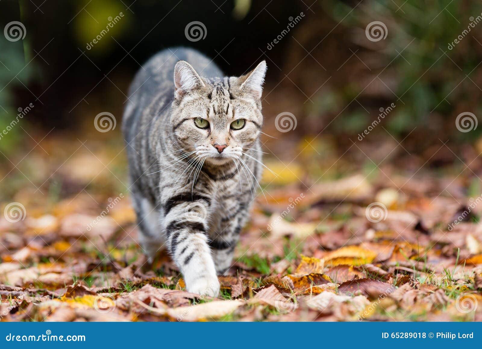Gato de gato atigrado en el vagabundeo